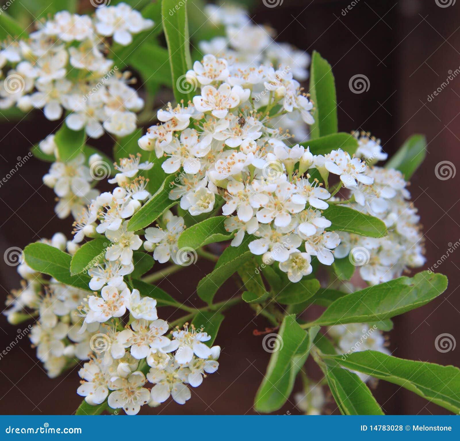 Het bloeien Pyracantha