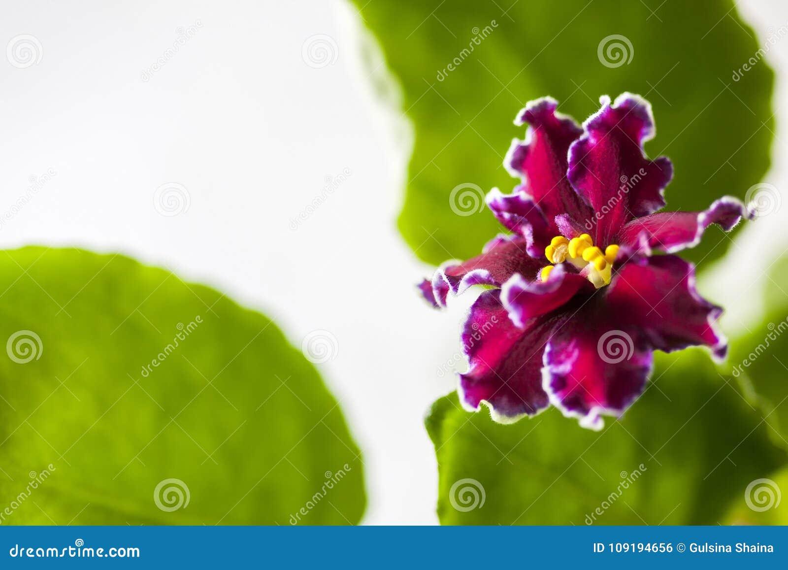 Het bloeien Saintpaulias, die algemeen als Afrikaans viooltje wordt bekend Macro Helder robijn, fluweelbloemen