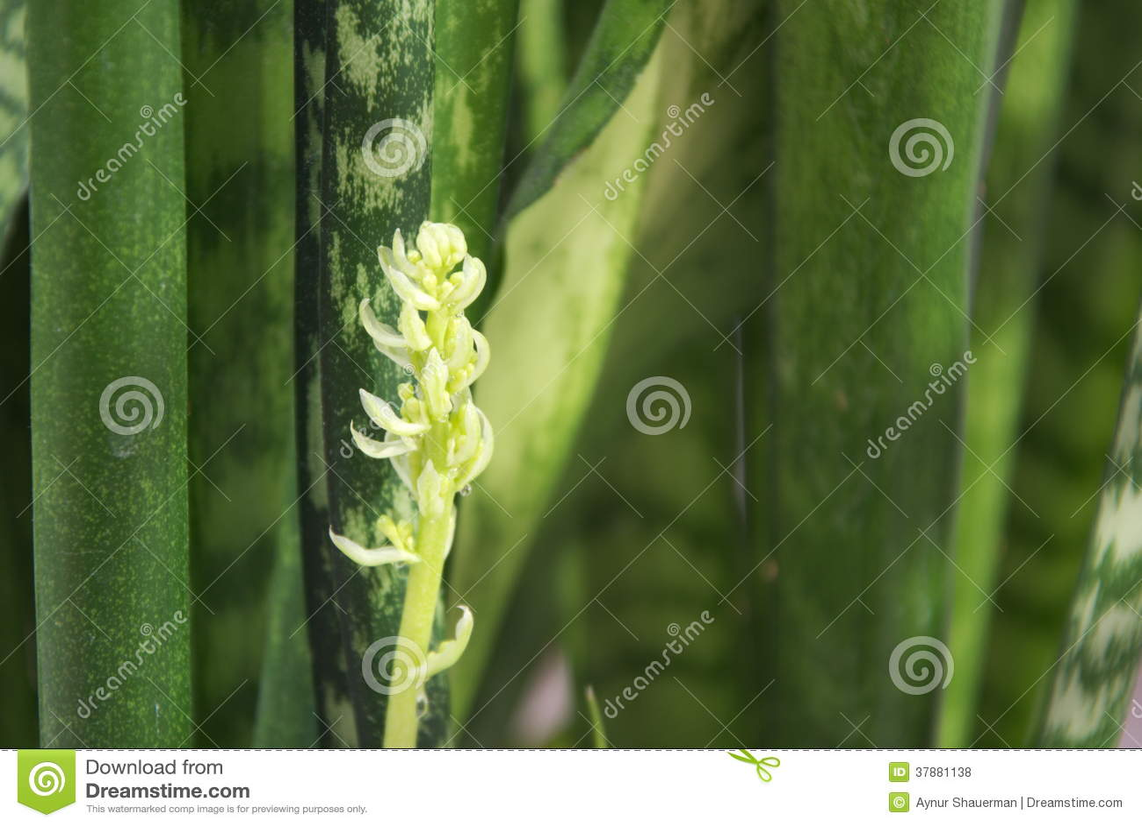 Het bloeien sansevieriya