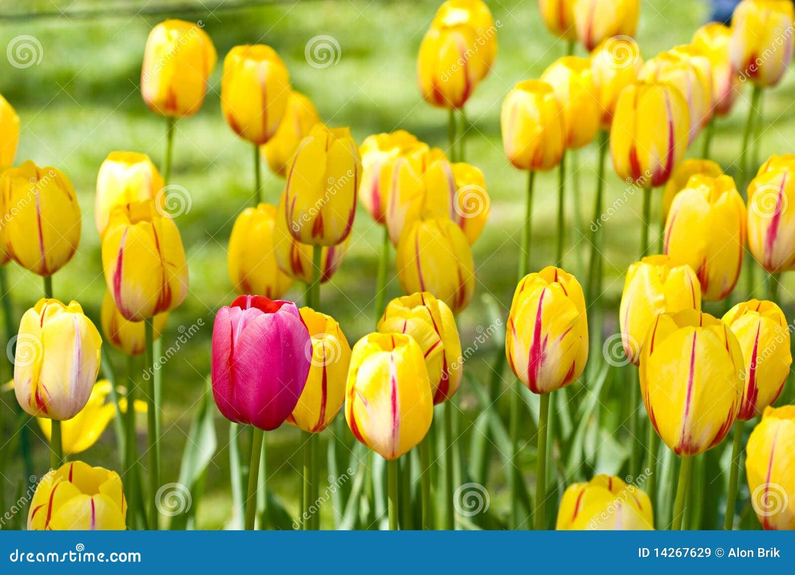 Het Bloeien Van De Lente Seizoen Van De Nederlandse Tulpen Van Het Mirakel Royalty vrije Stock