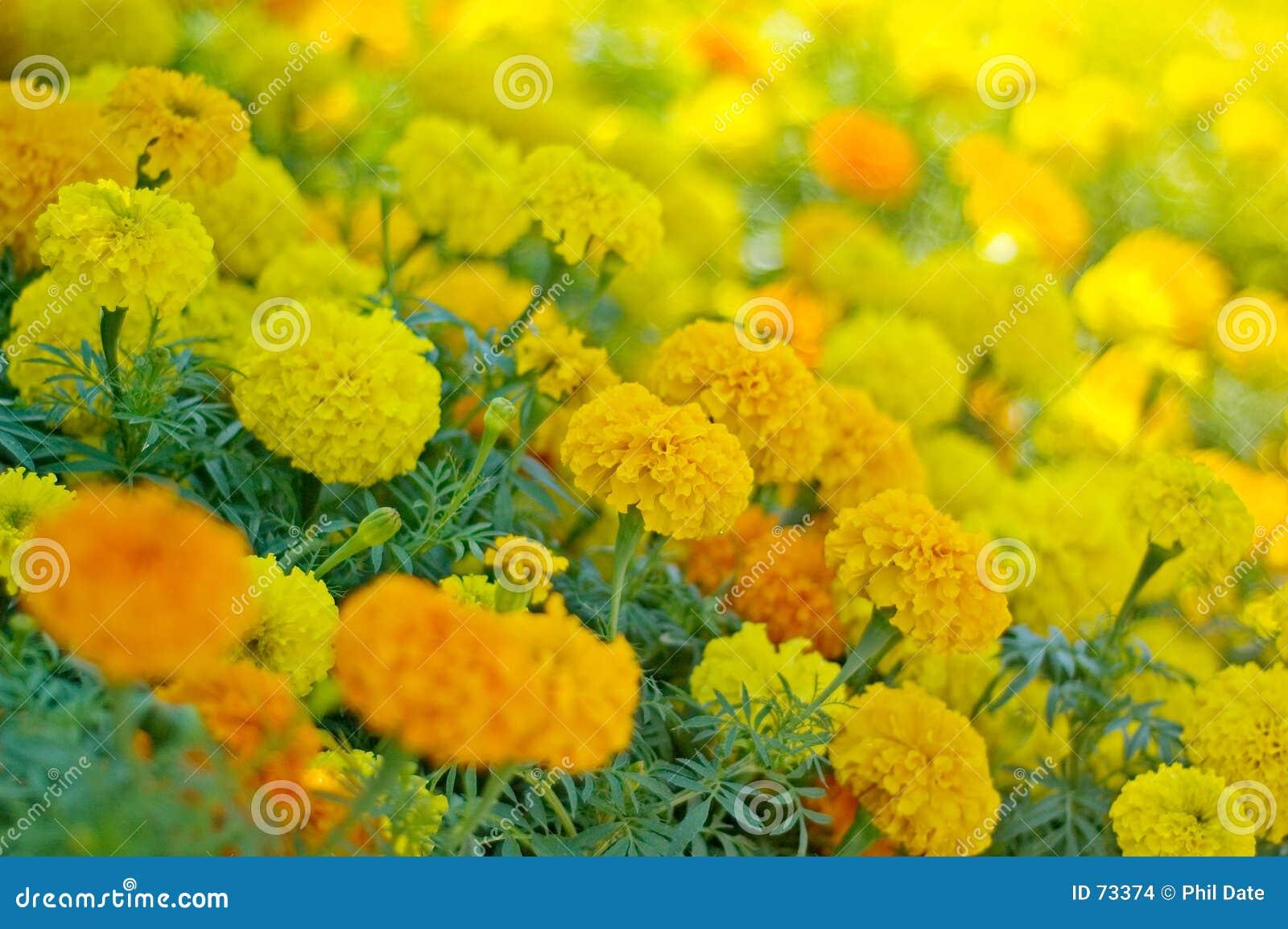 Het Bloembed van de goudsbloem