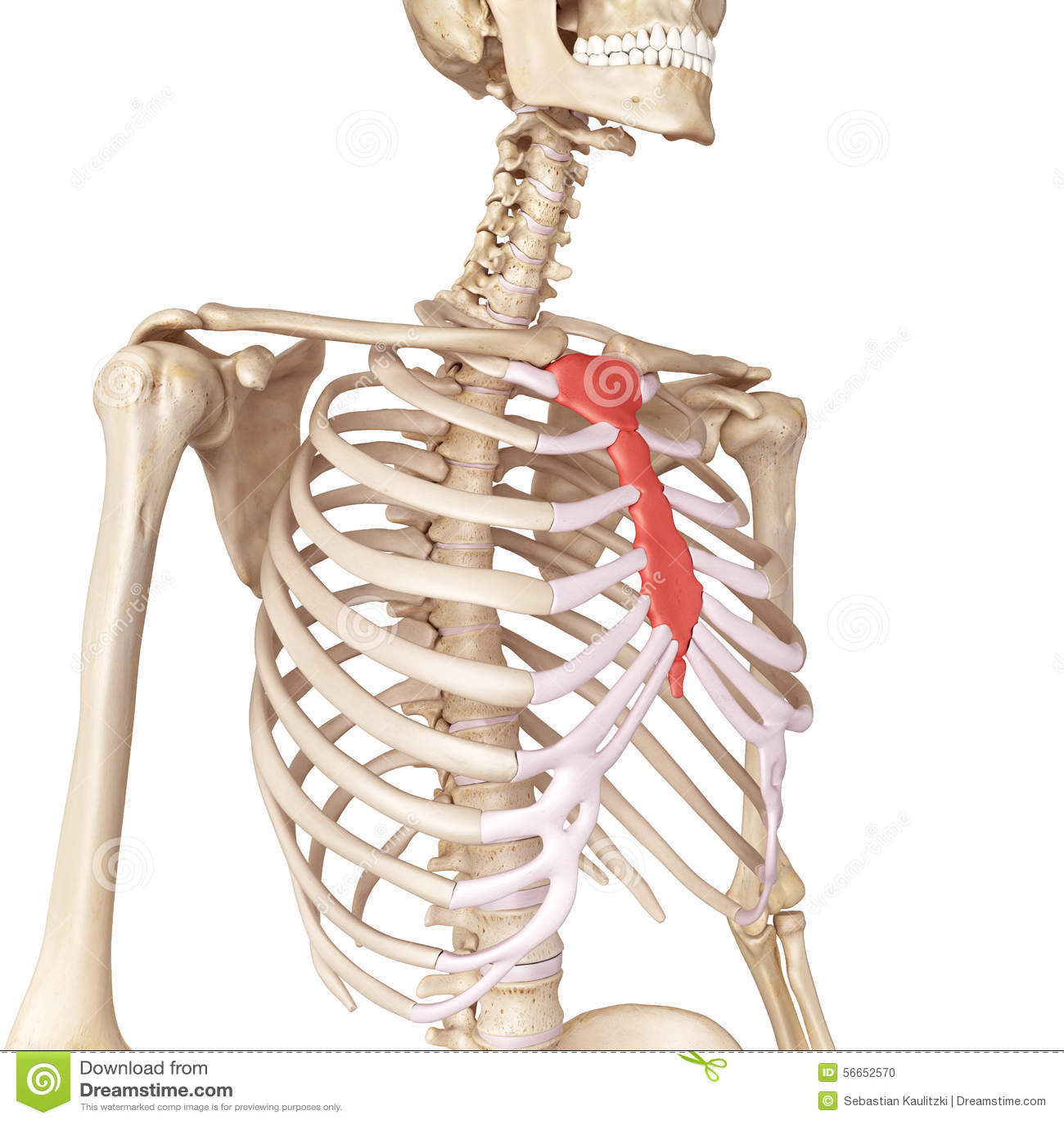 Sternum Bones Images Free Download Sternum Bone Anatomy
