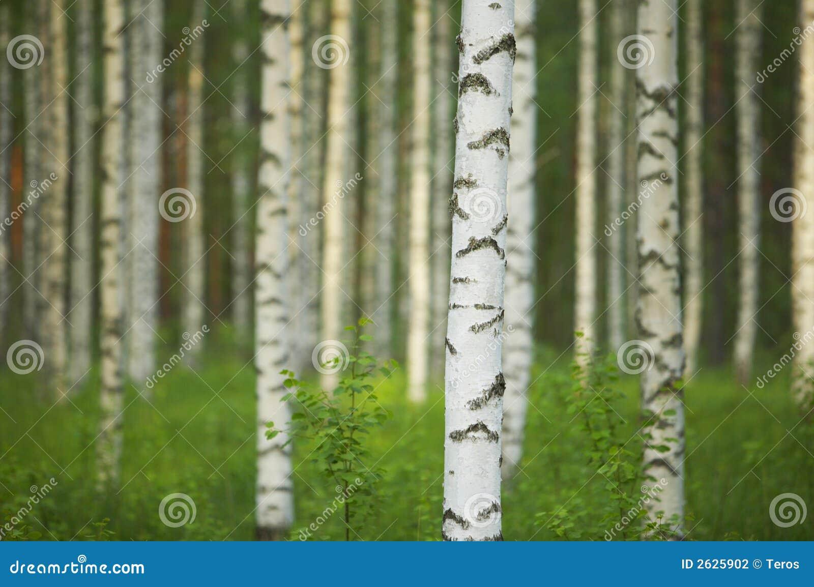 Het bos van de berk