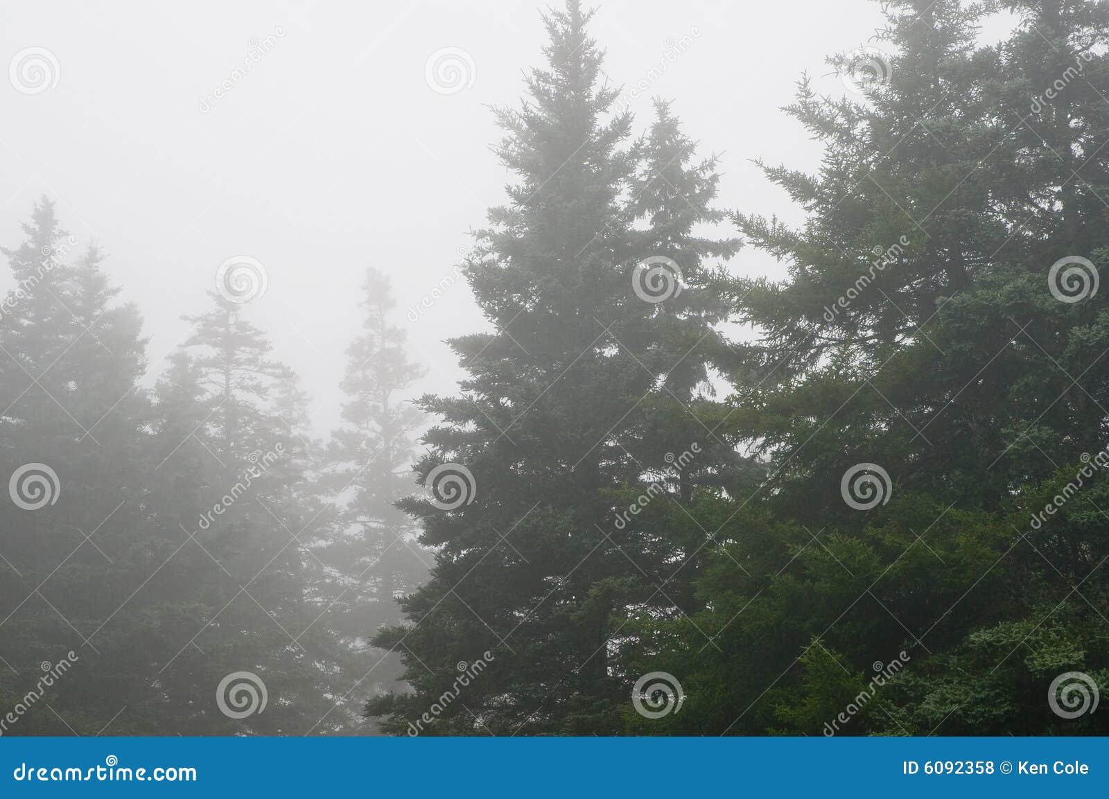 Het bos van de pijnboom in dichte mist