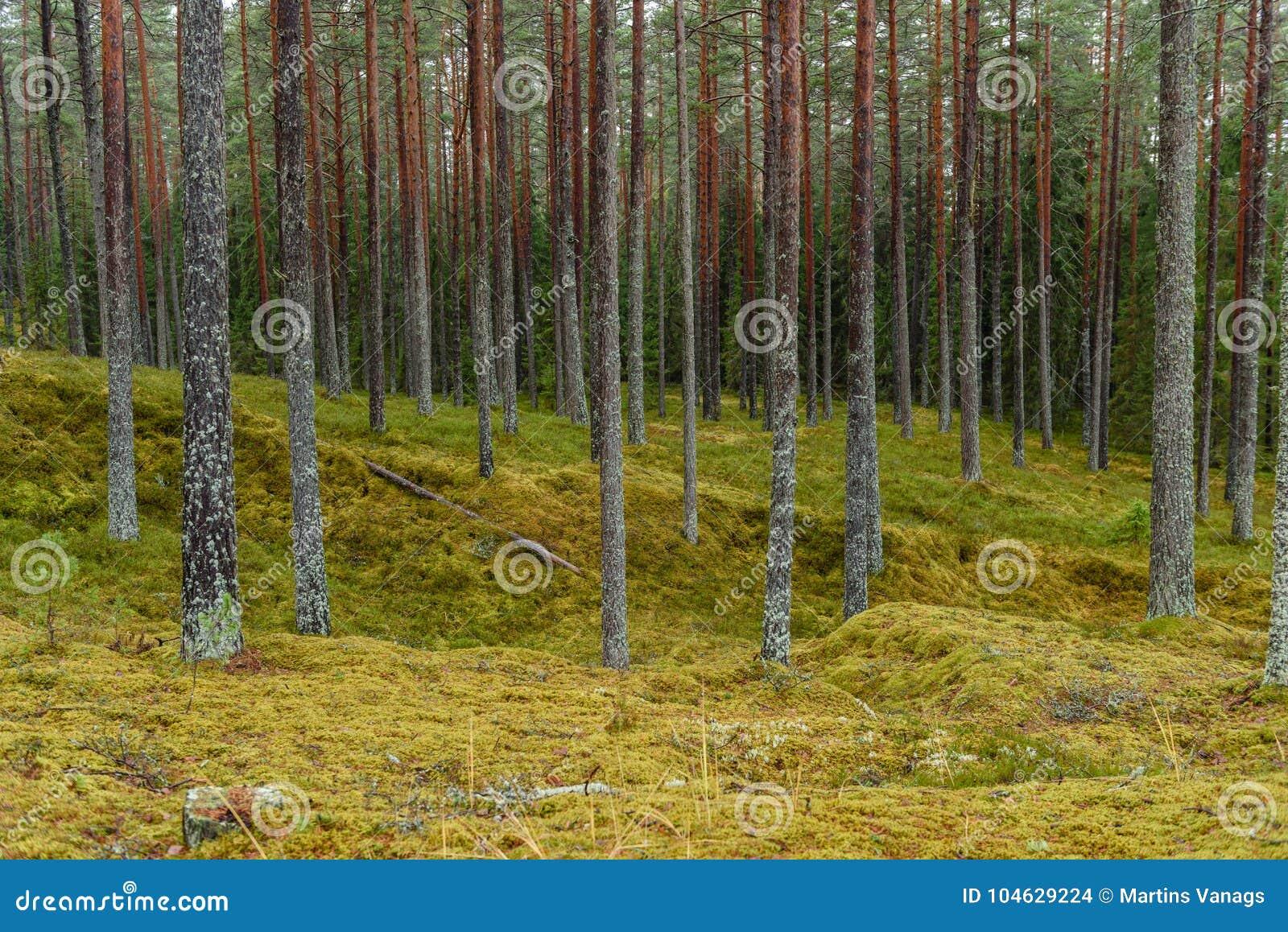 Download Het Bos Van De Pijnboomboom Met Mos Behandelde Grond In De Recente Herfst Stock Foto - Afbeelding bestaande uit majestic, altijdgroen: 104629224