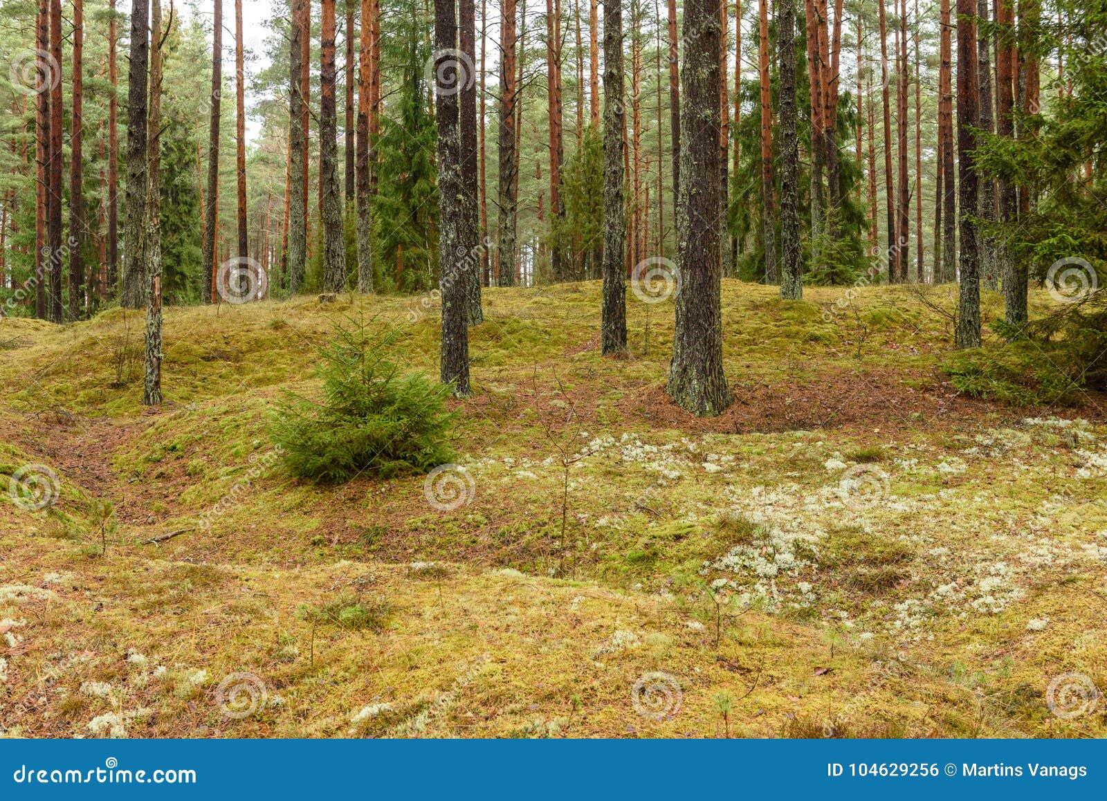 Download Het Bos Van De Pijnboomboom Met Mos Behandelde Grond In De Recente Herfst Stock Foto - Afbeelding bestaande uit wildernis, landschap: 104629256
