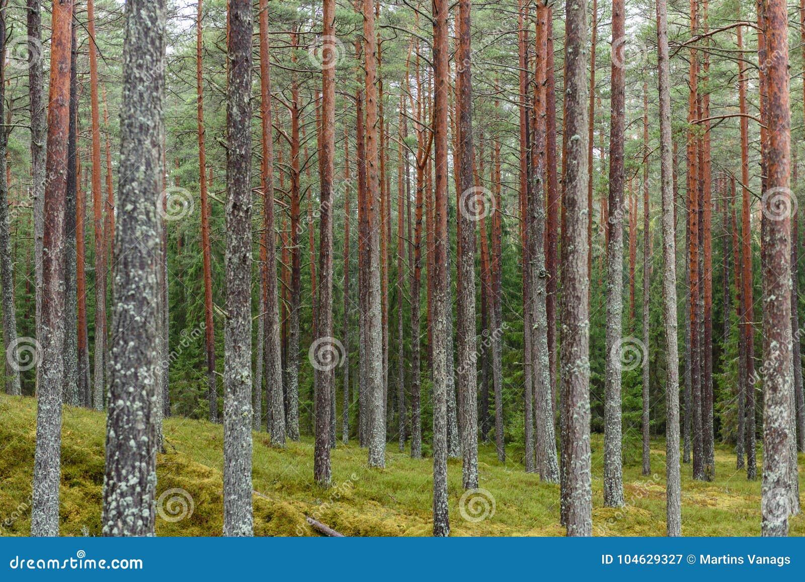Download Het Bos Van De Pijnboomboom Met Mos Behandelde Grond In De Recente Herfst Stock Afbeelding - Afbeelding bestaande uit dageraad, groen: 104629327