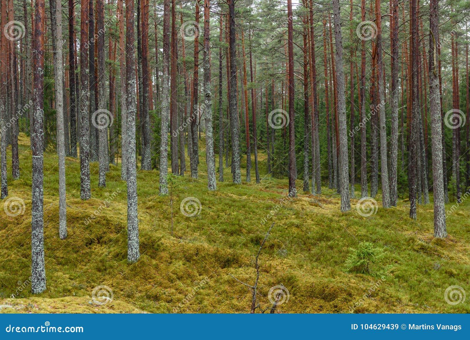 Download Het Bos Van De Pijnboomboom Met Mos Behandelde Grond In De Recente Herfst Stock Afbeelding - Afbeelding bestaande uit schemer, schaduw: 104629439