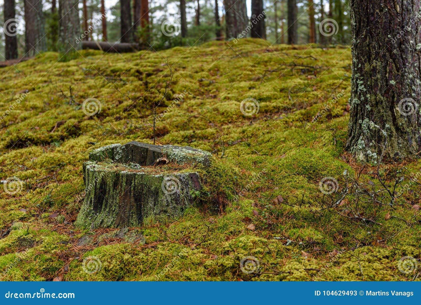 Download Het Bos Van De Pijnboomboom Met Mos Behandelde Grond In De Recente Herfst Stock Afbeelding - Afbeelding bestaande uit lush, wildernis: 104629493
