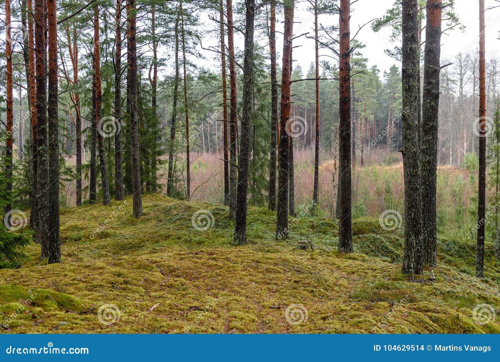 Download Het Bos Van De Pijnboomboom Met Mos Behandelde Grond In De Recente Herfst Stock Foto - Afbeelding bestaande uit schaduw, hout: 104629514