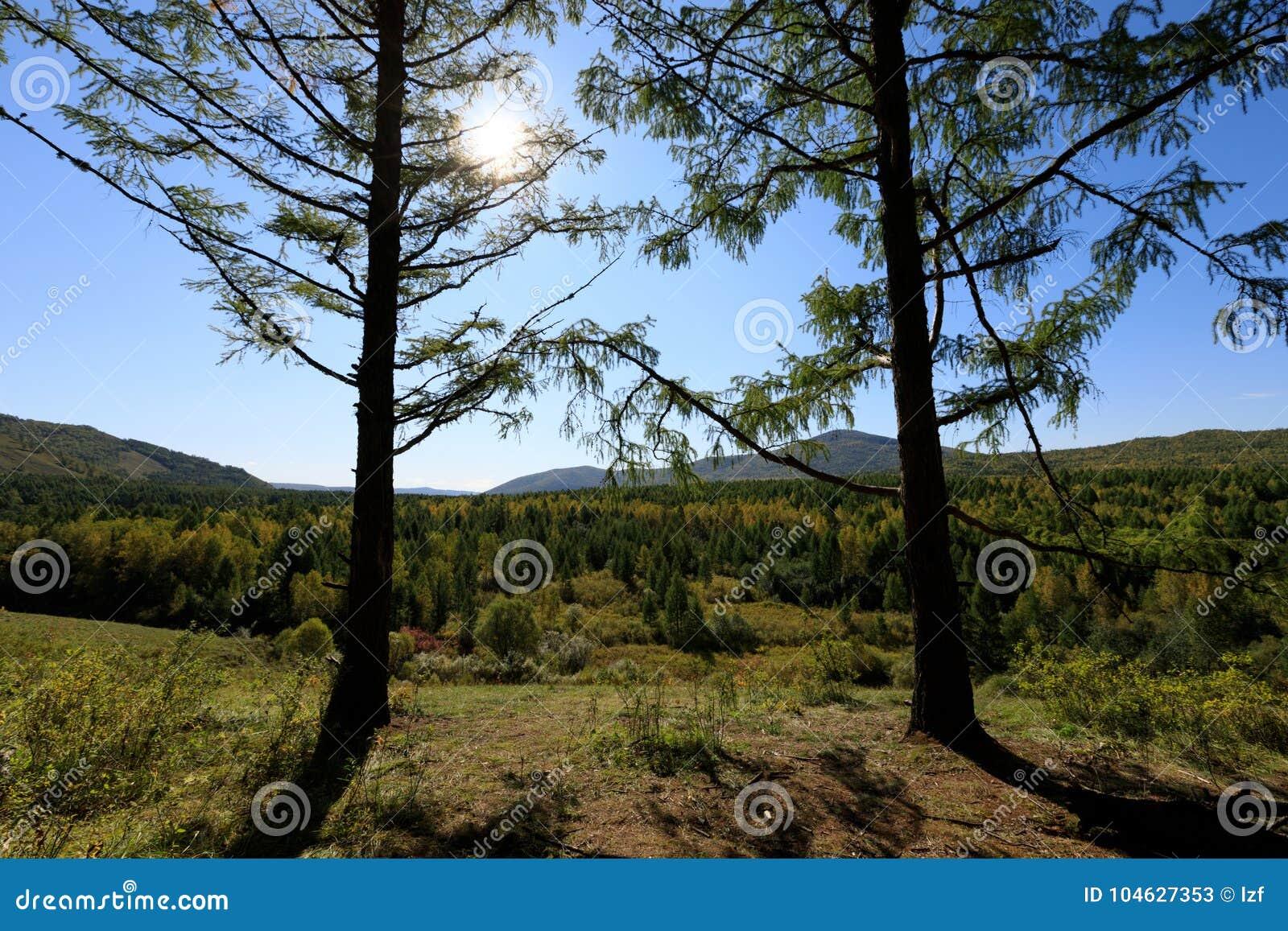 Download Het bos van pijnboombomen stock afbeelding. Afbeelding bestaande uit openlucht - 104627353