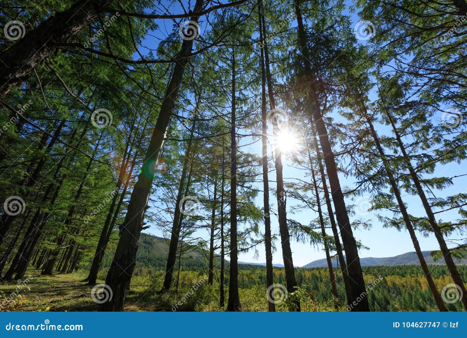 Download Het bos van pijnboombomen stock afbeelding. Afbeelding bestaande uit wildernis - 104627747