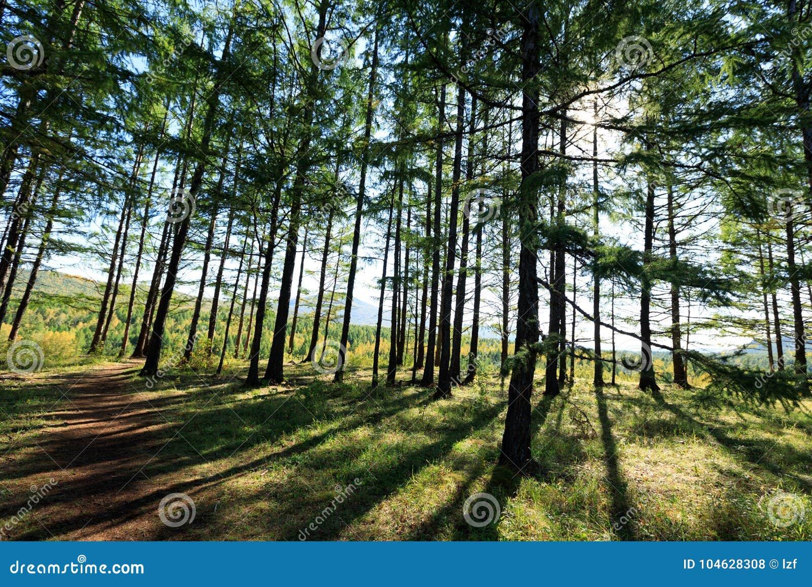 Download Het bos van pijnboombomen stock foto. Afbeelding bestaande uit openlucht - 104628308