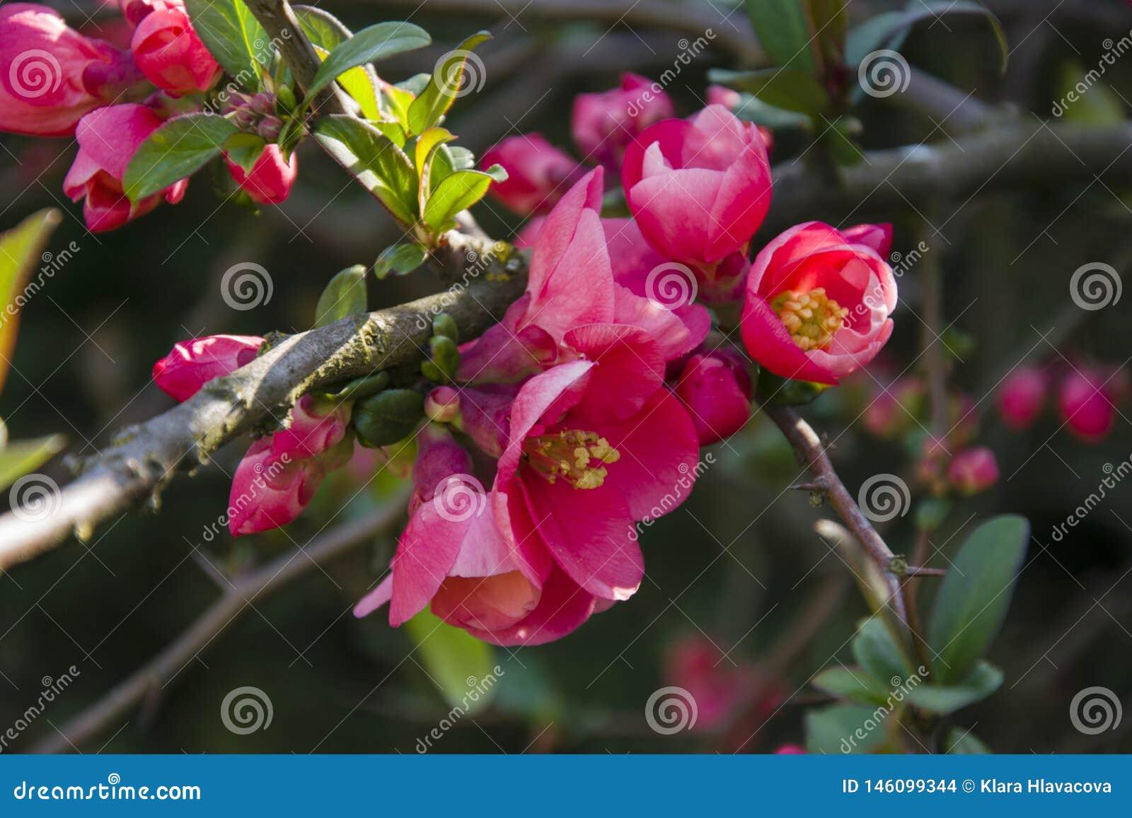 Het bosje van Cydoniaoblonga bloeit knoppen op een takje