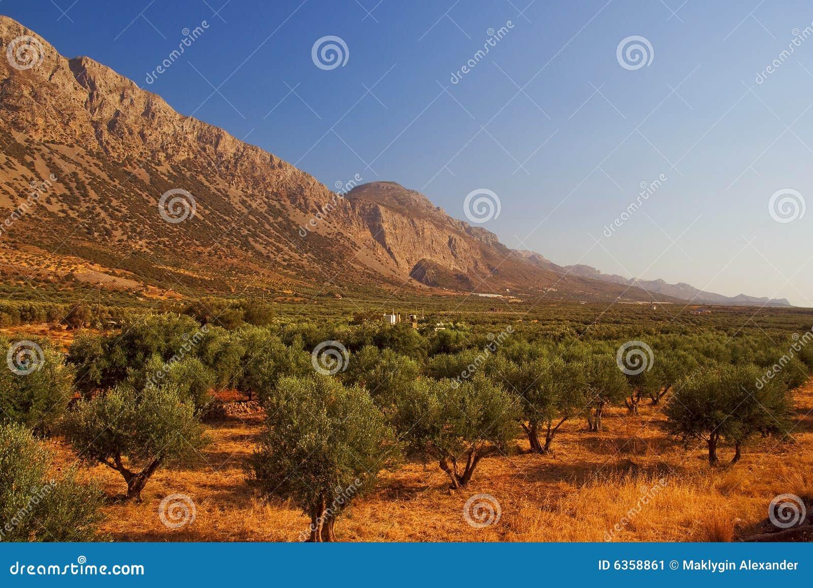 Het bosje van de olijf