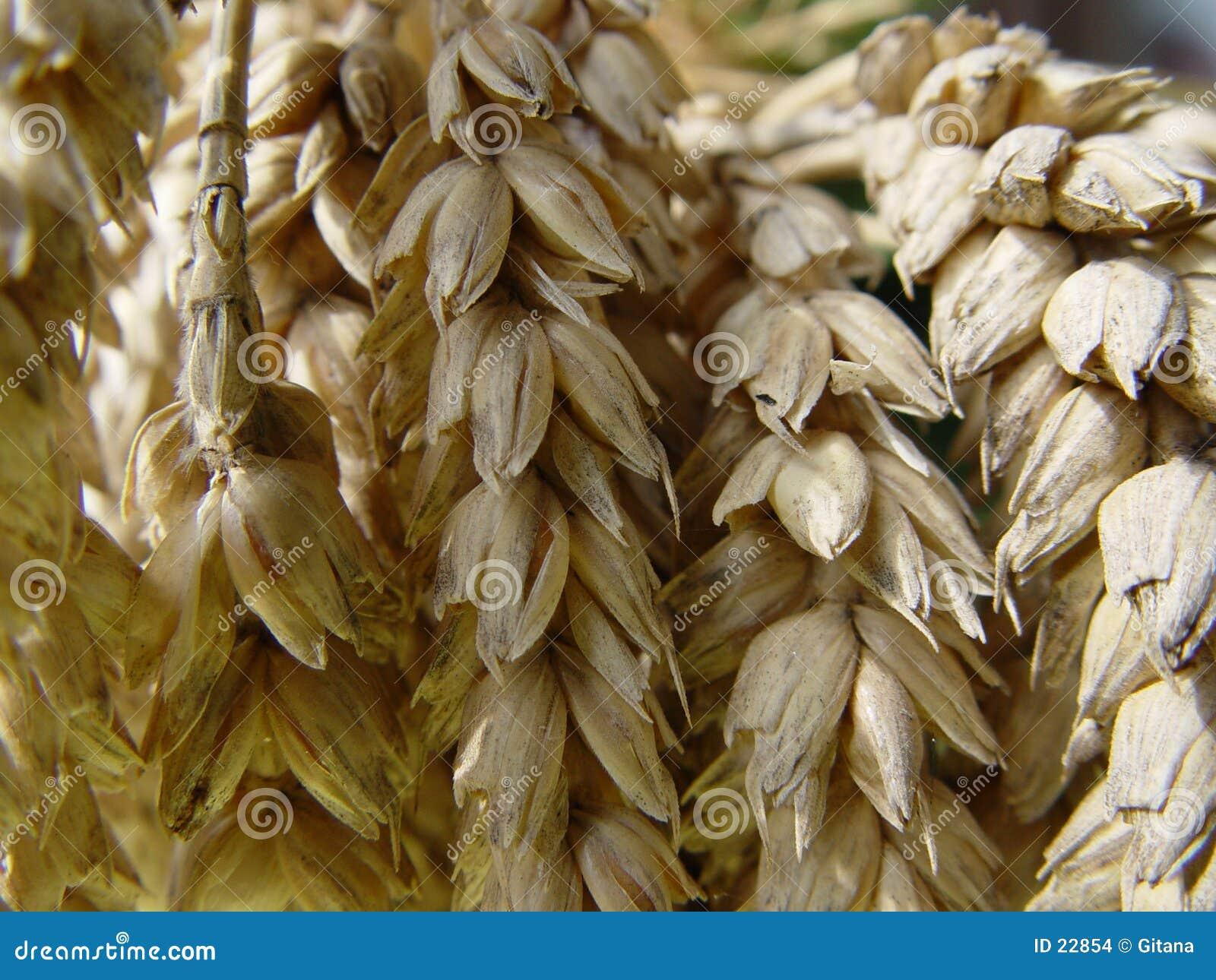 Het brood van de tarwe