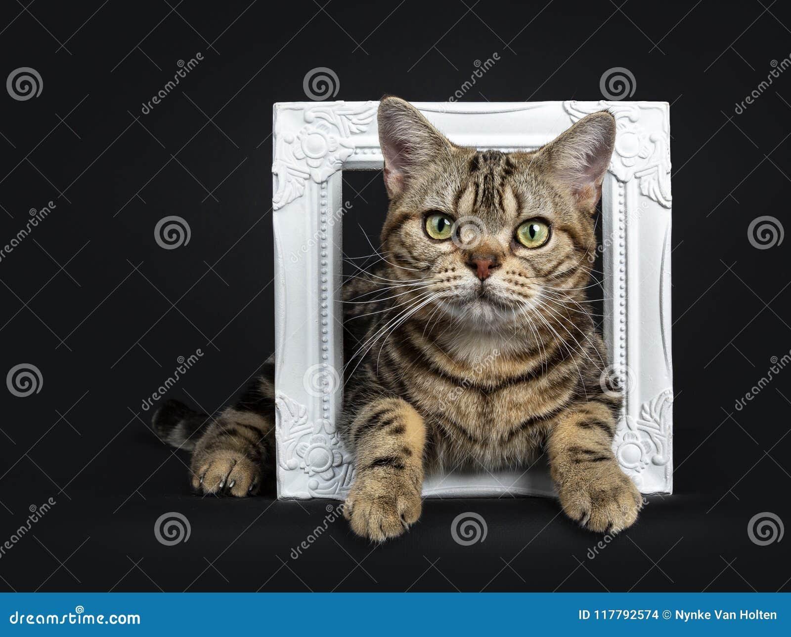 Het bruine en zwarte de kattenkatje die van gestreepte kat Amerikaanse Shorthair door een wit die fotokader op witte achtergrond