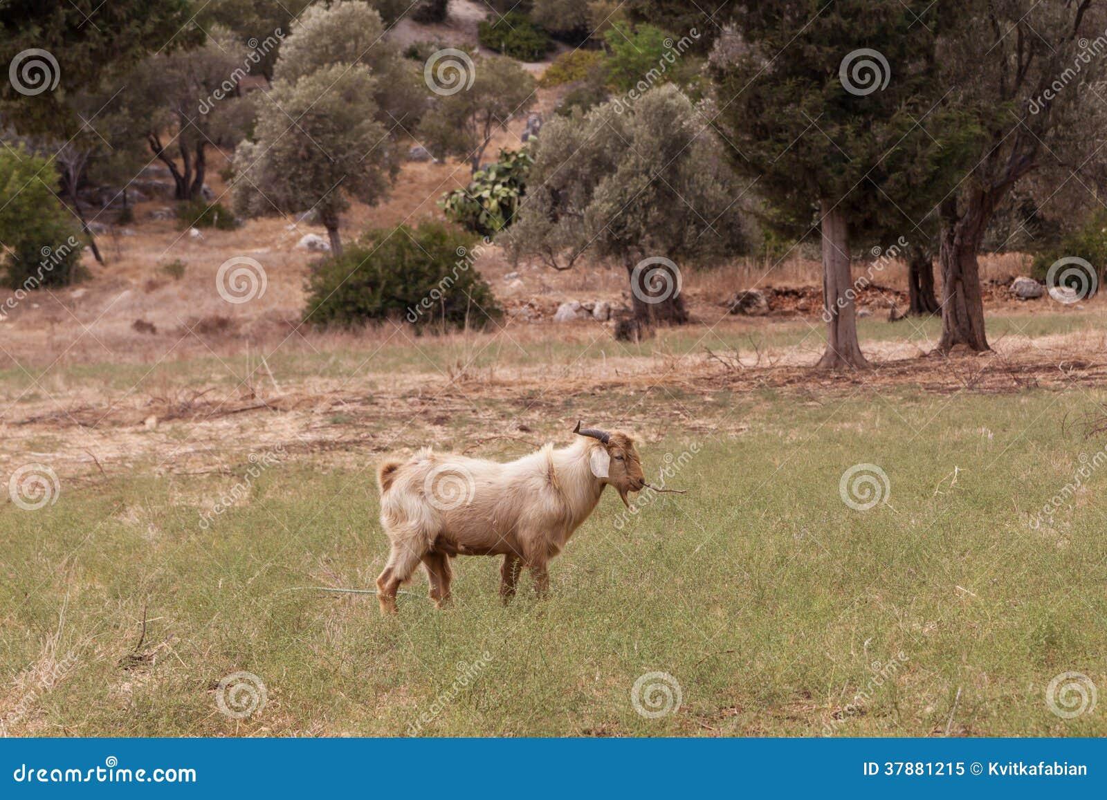Het bruine geit weiden op het gebied