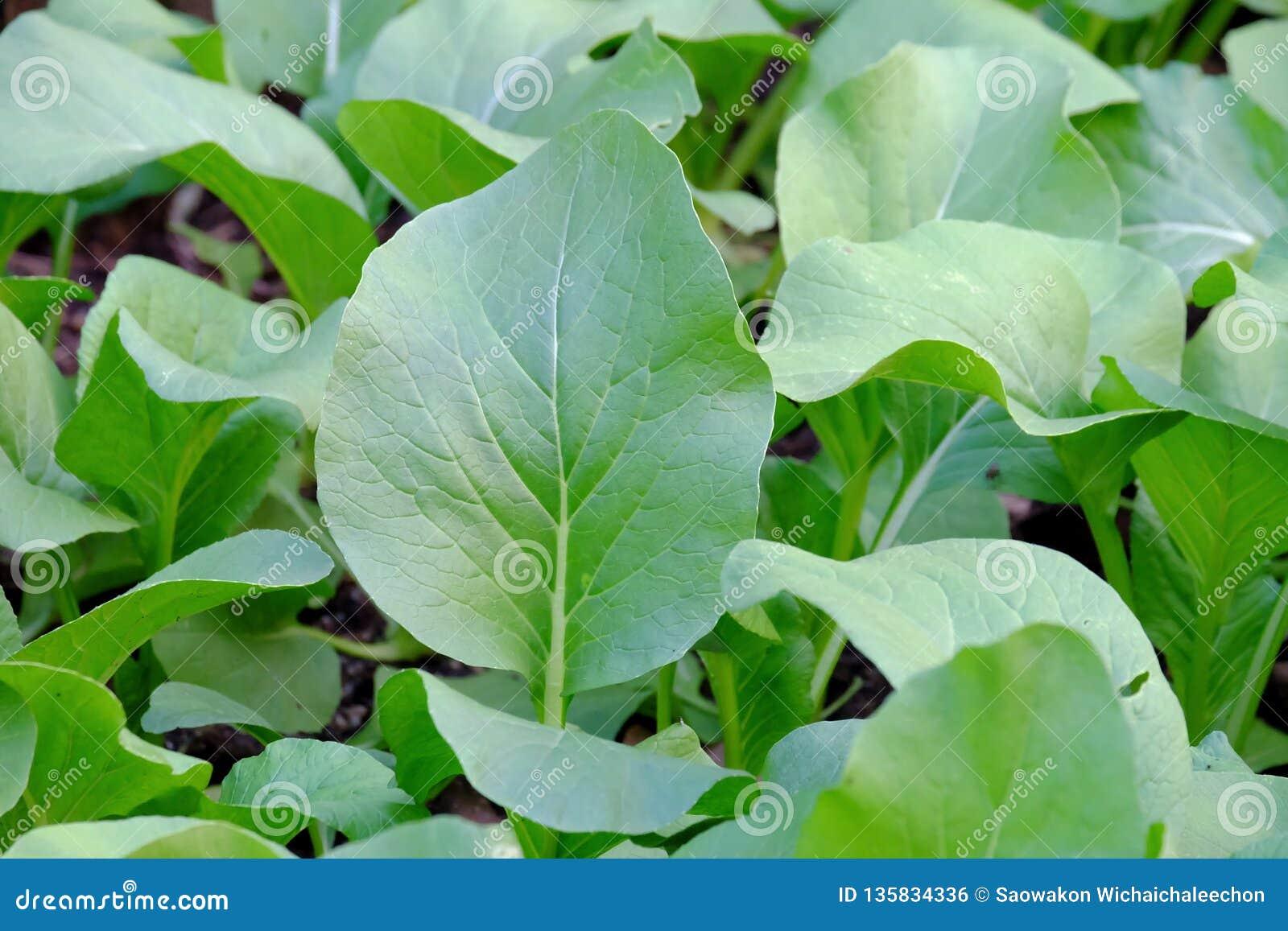 Het Chinese broccoli groeien in een plantaardig bed in openluchttuin in de stad