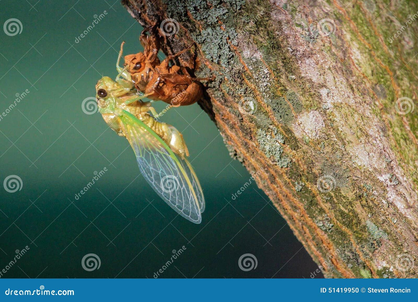 Het cicadeinsect voltooit Metamorfose in Gevleugelde Volwassene