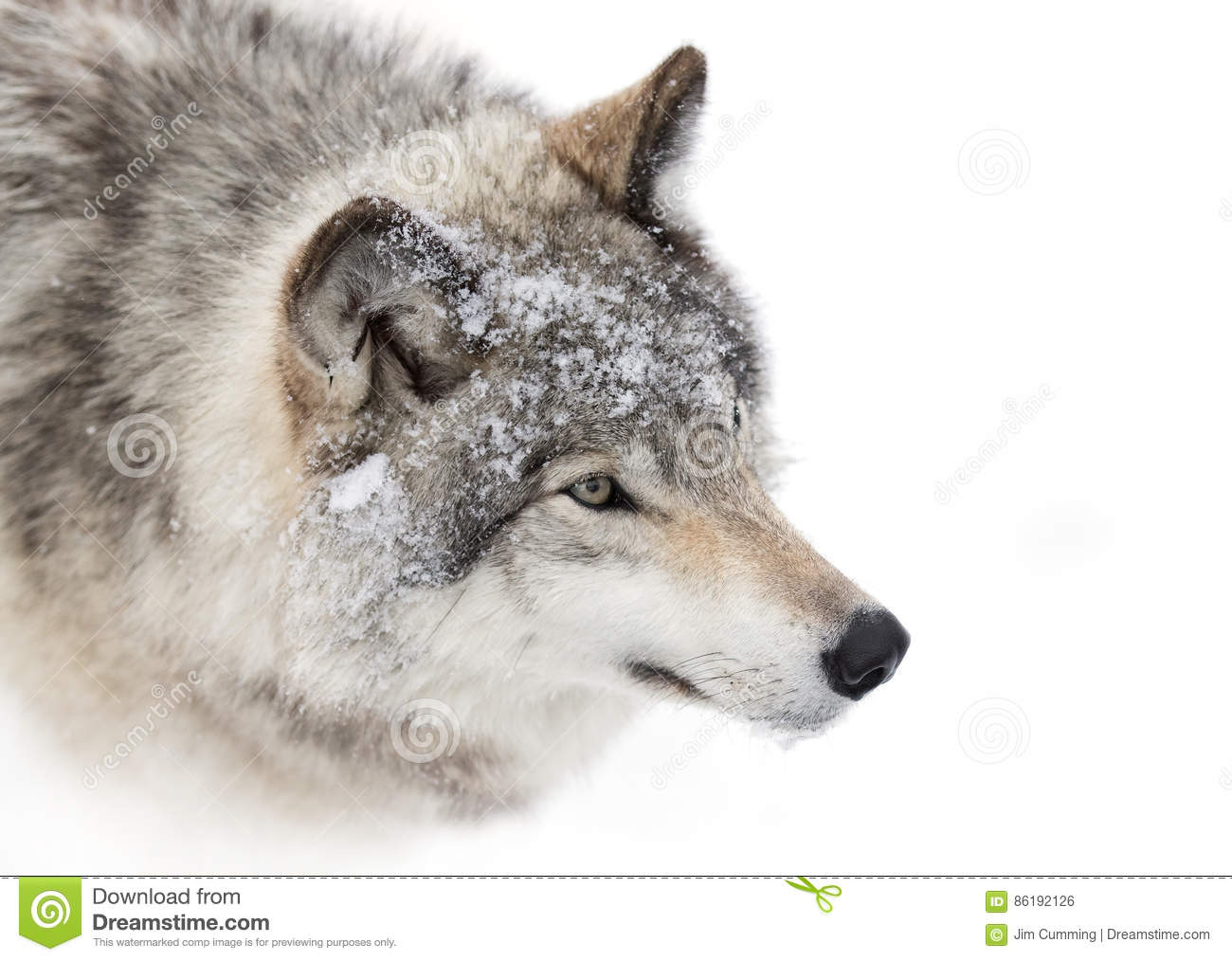 Het close-up van de houtwolf in de wintersneeuw