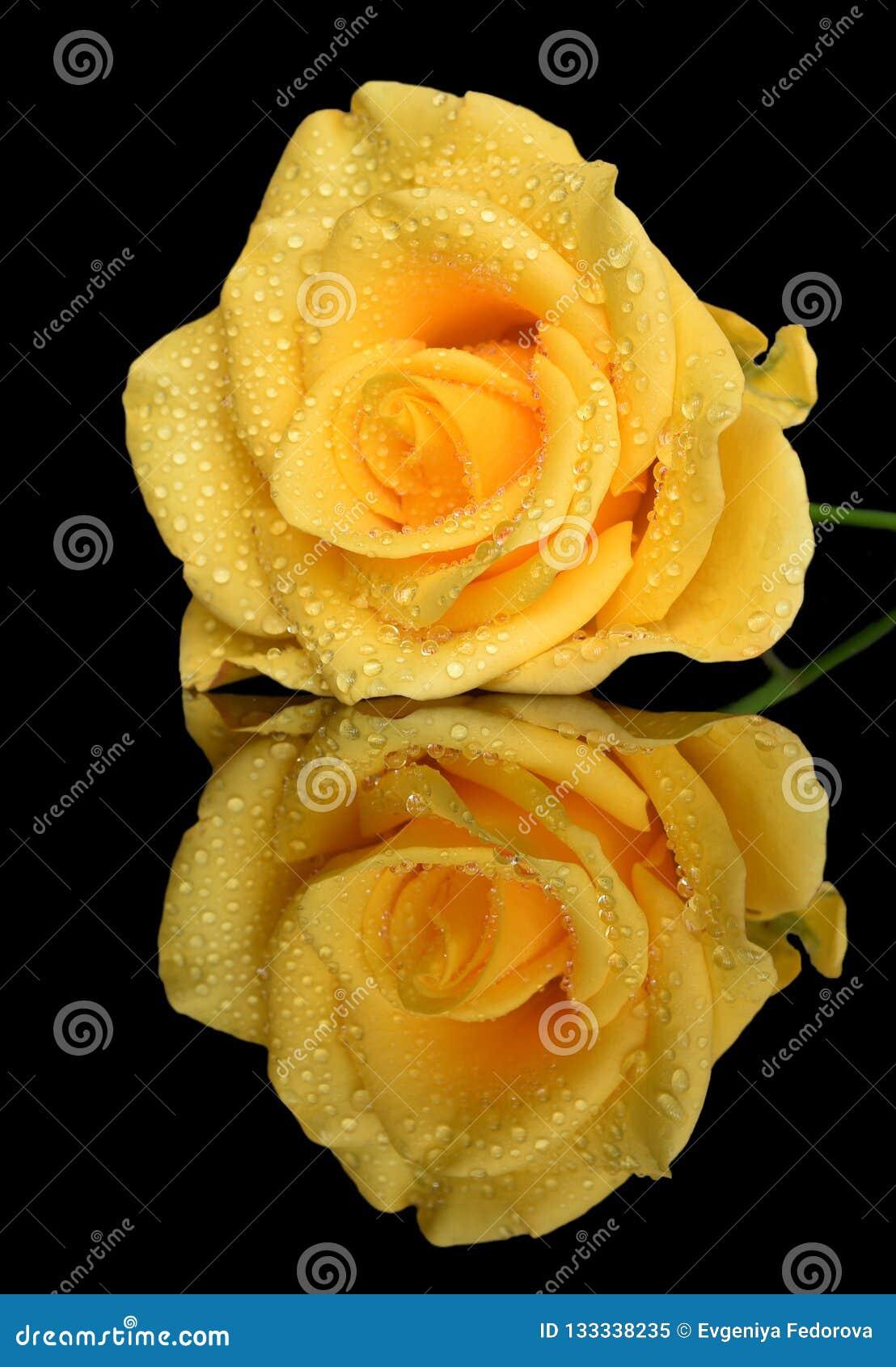 Het close-up van geel nam met regendruppels toe