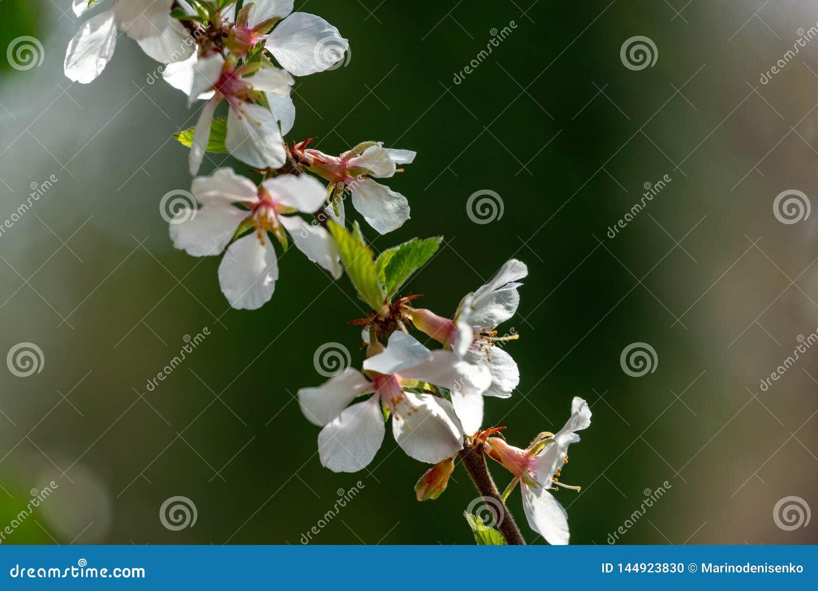 Het close-up van witte kers bloeit Nanking kers of Prunus Tomentosa tegen vage groene tuinachtergrond