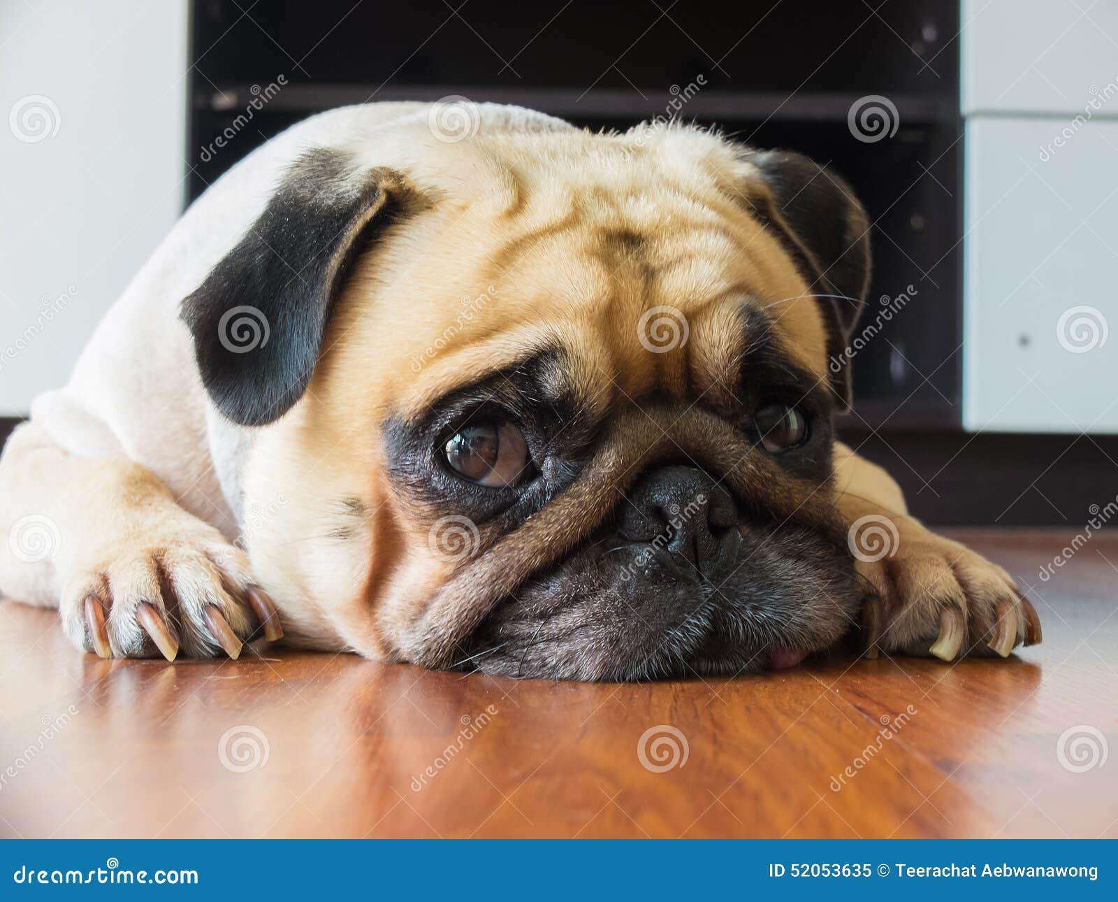 Het close-upgezicht van de Leuke pug rust van de puppyhond door kin en de tong bepalen op gelamineerde vloer en kijken aan camera