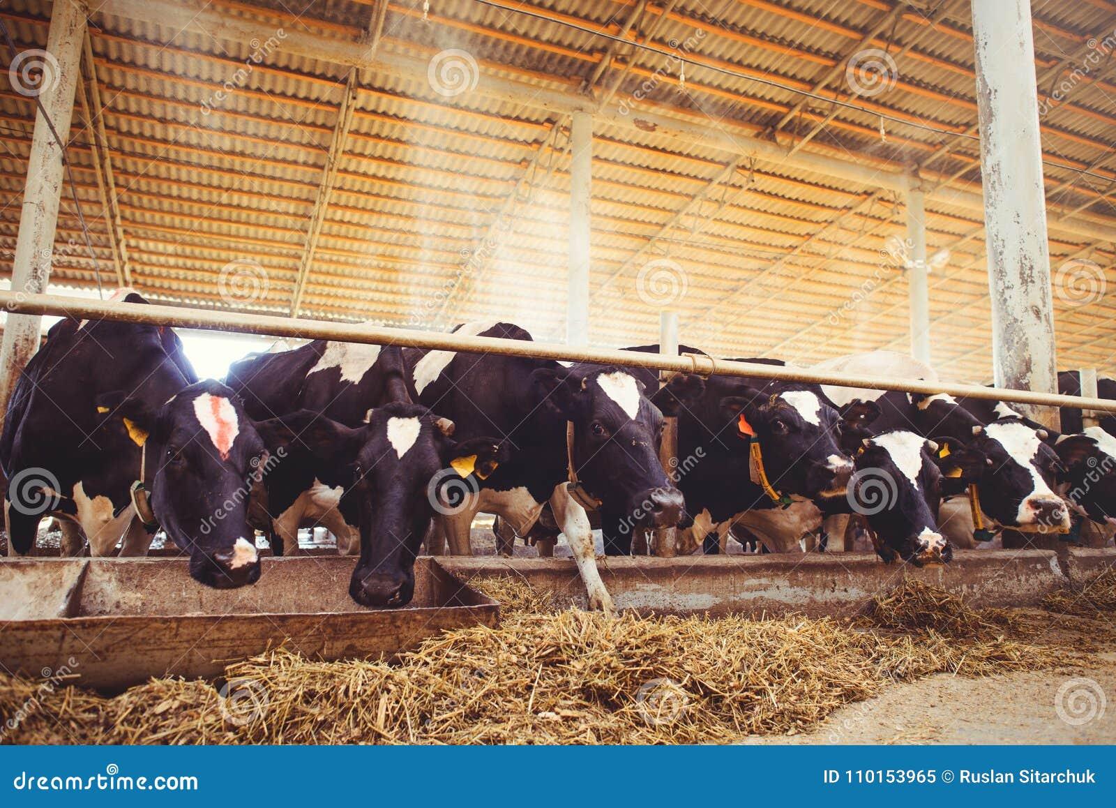 Het concept van het koelandbouwbedrijf landbouw, landbouw en veeteelt - een kudde van koeien die hooi in een schuur op een melkve