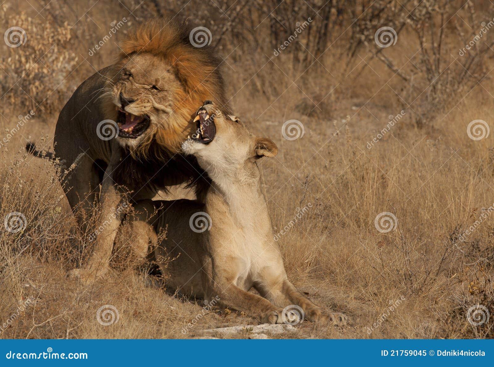 Het copulating van leeuwen