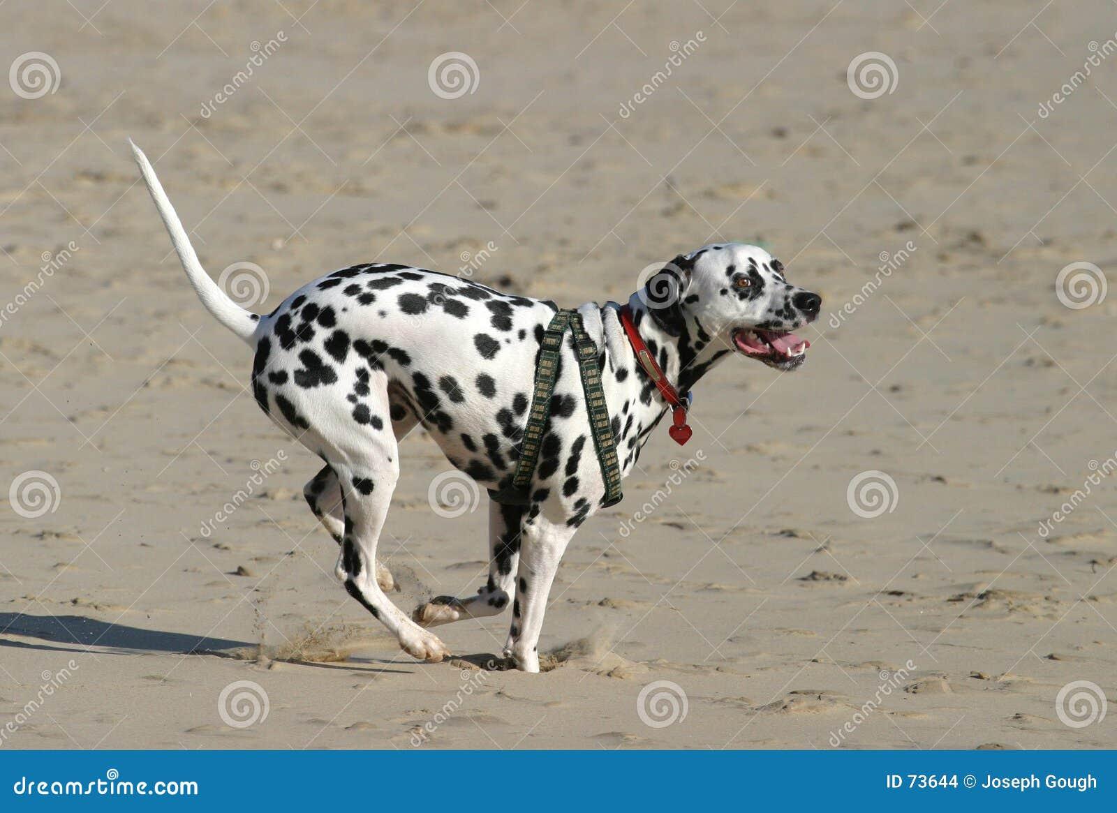 Het Dalmatische Sprinten