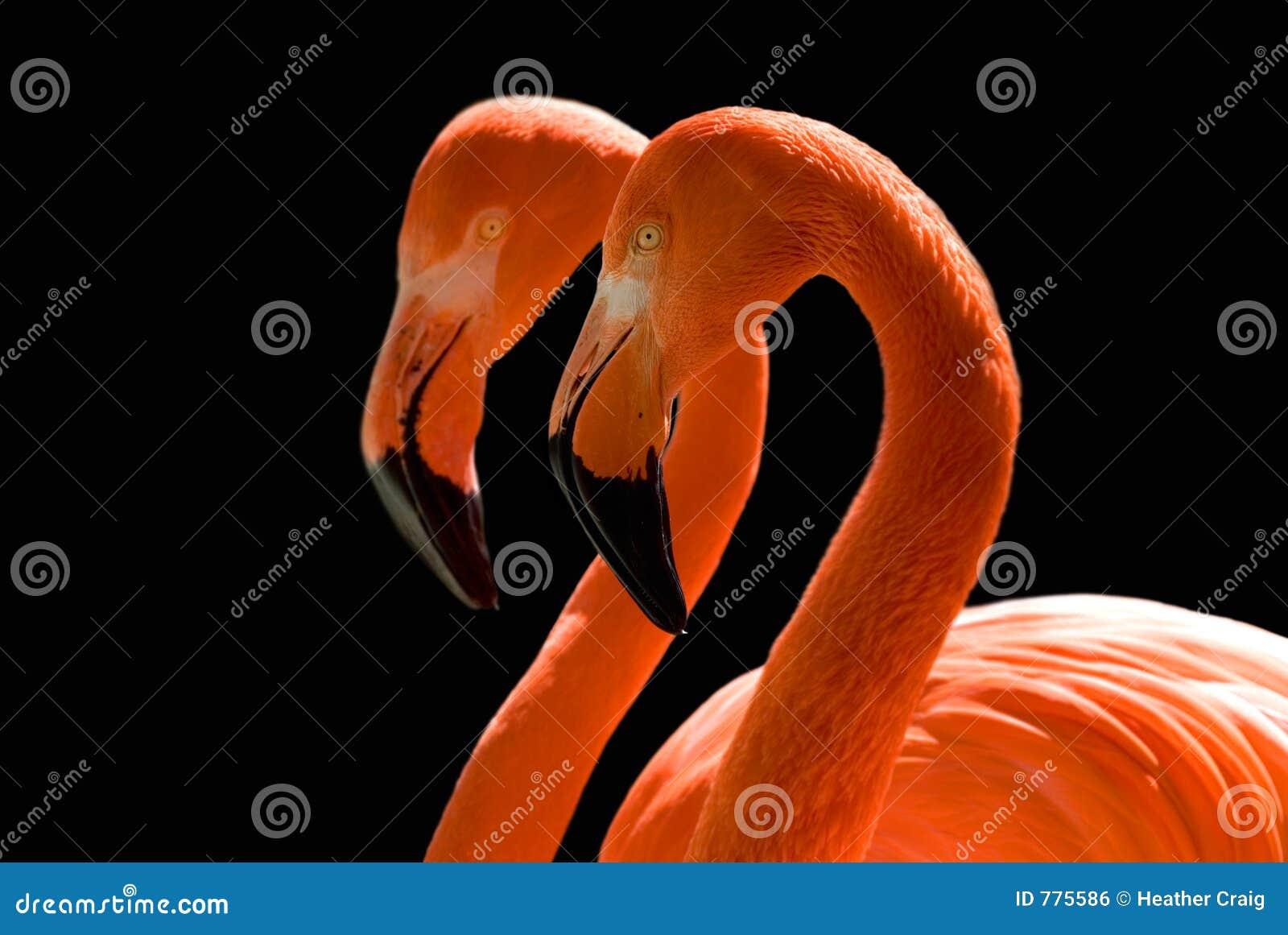 Het dansen Flamingo s op Zwarte