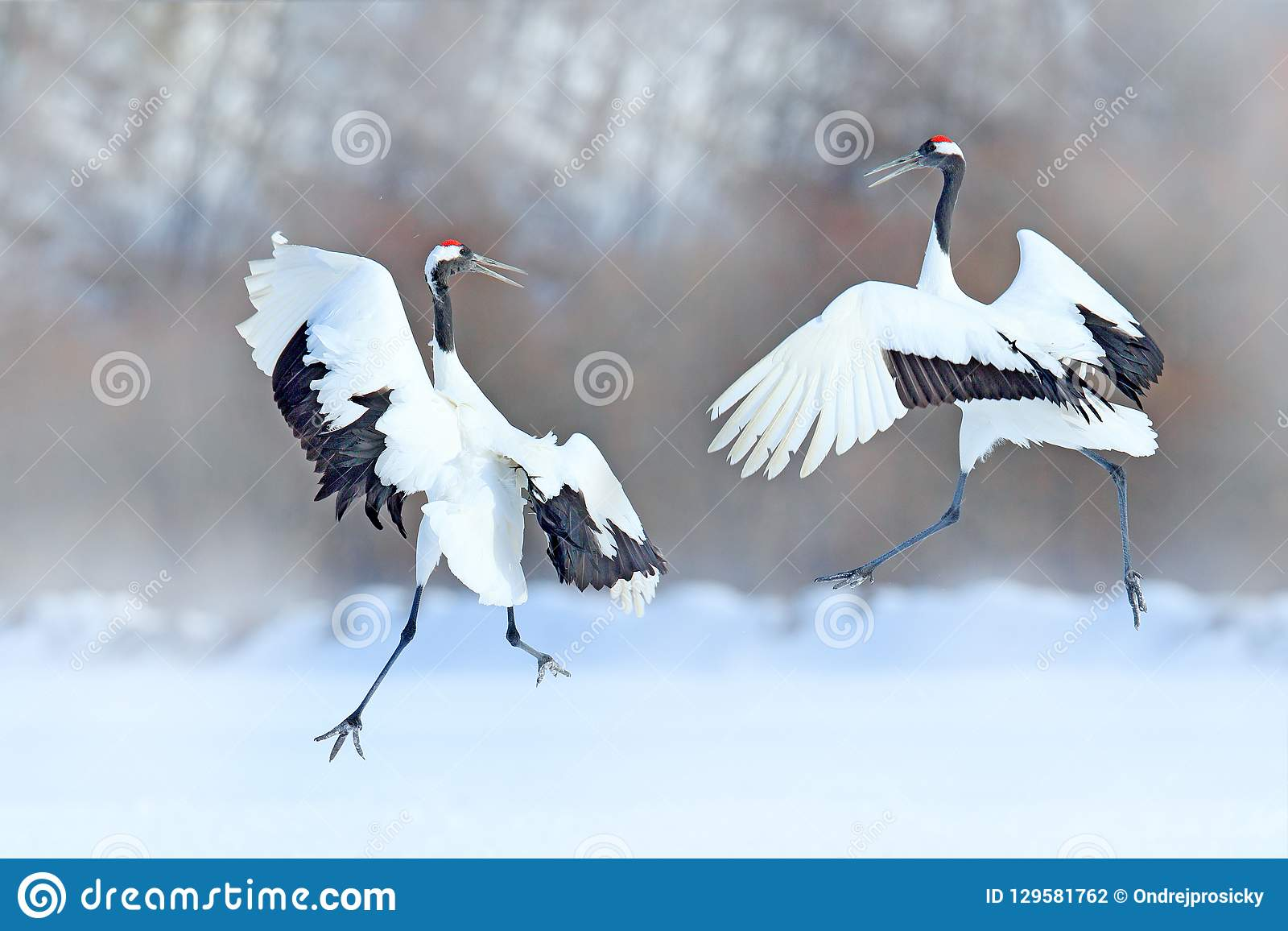 Het dansen paar van rood-Bekroonde kraan met open vleugels, de winter Hokkaido, Japan Sneeuwdans in aard Vrijage van mooie grote