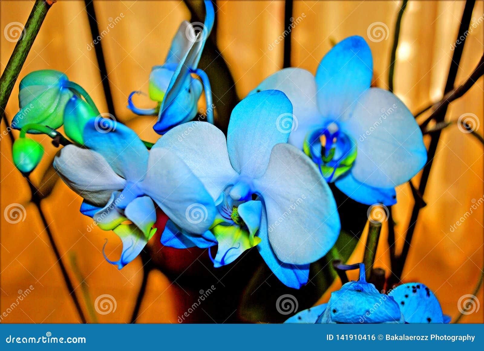 Het de blauwe achtergrond en behang van orchideeënbloemen in hoge bovenkant - kwaliteitsdrukken