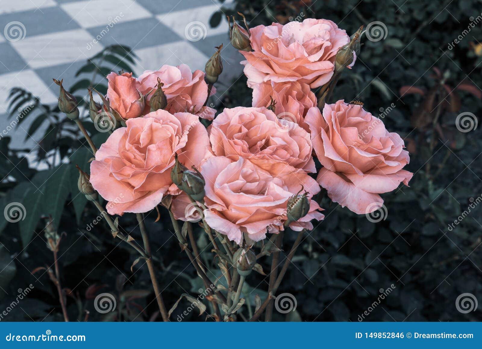 Het dichte Uitstekende Mooie Boeket Roze Rozen sjofele elegante romantische verse kijken