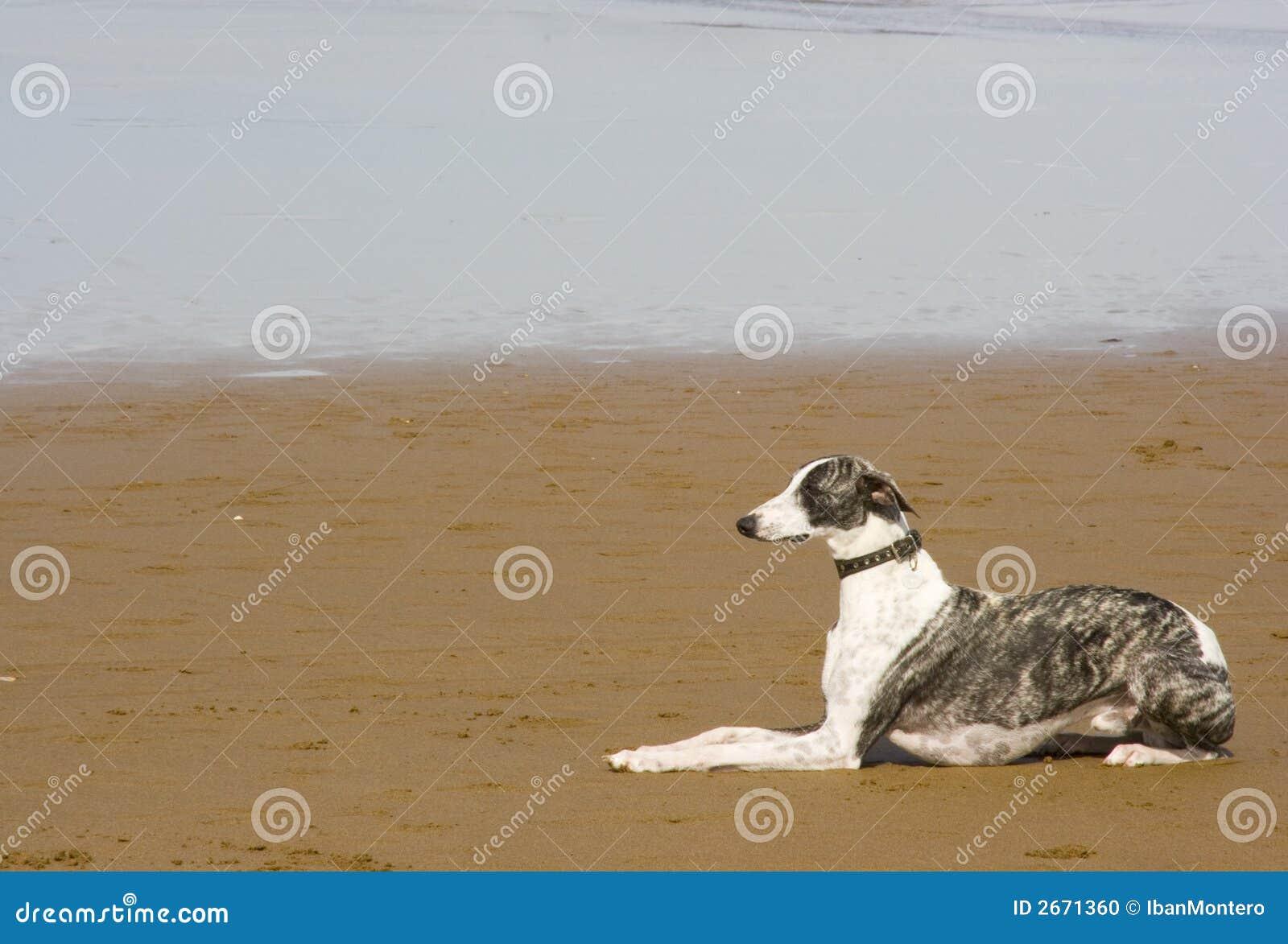 Het dierlijke huisdier van de hond