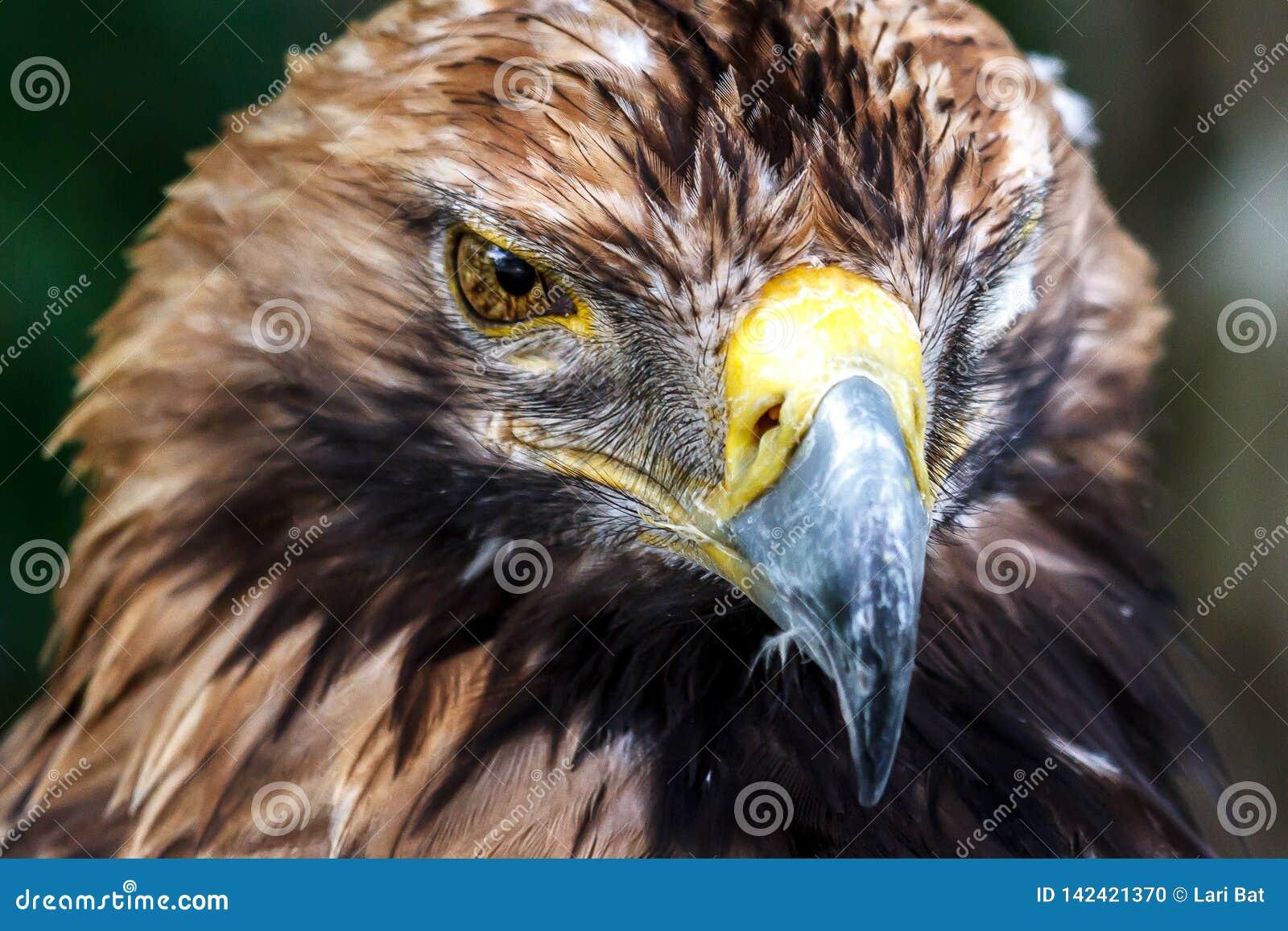 Het doordringen blik van de adelaar in de eigenlijke essentie