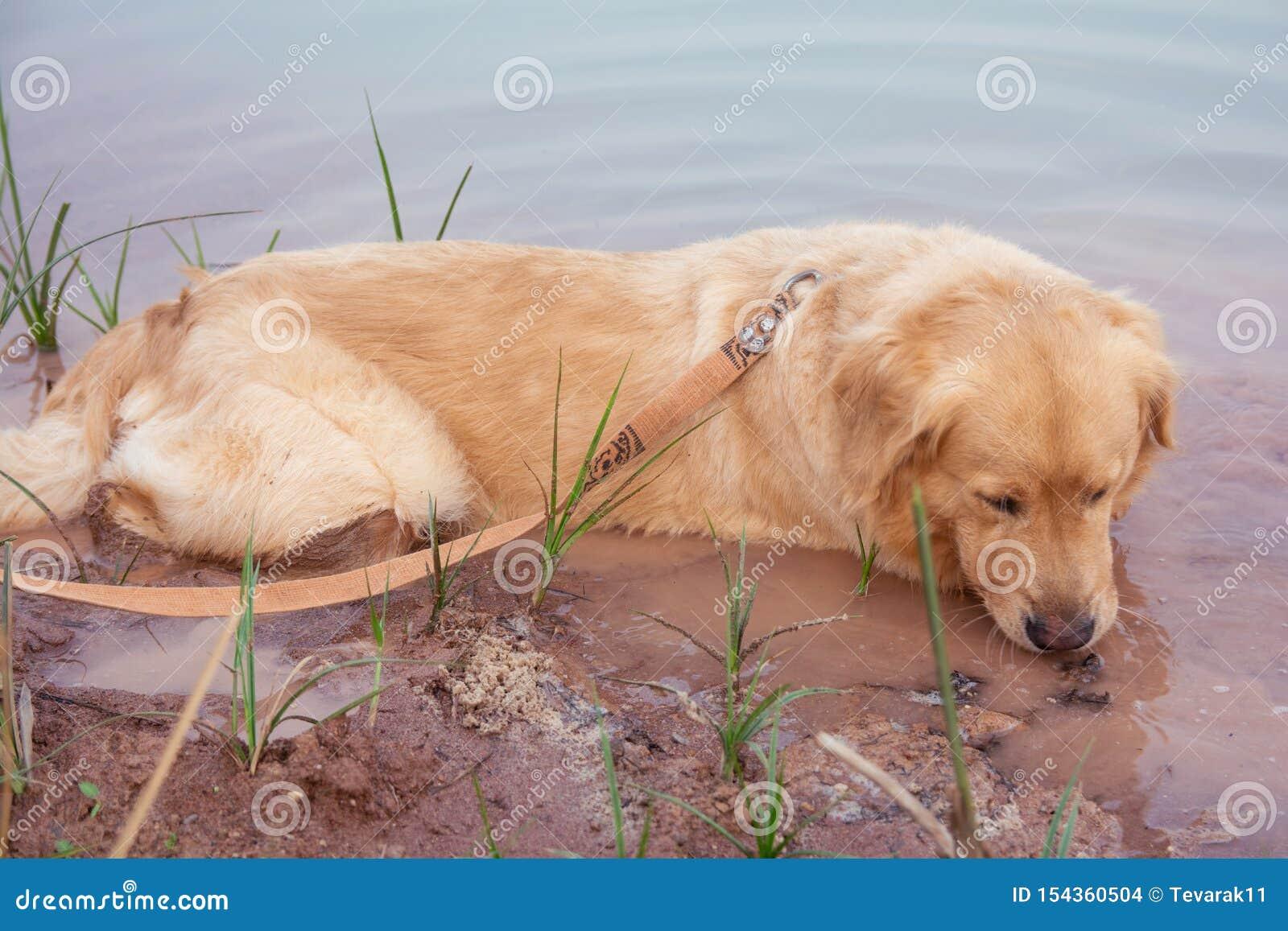 Het Doorwekende water van de golden retrieverhond in meer