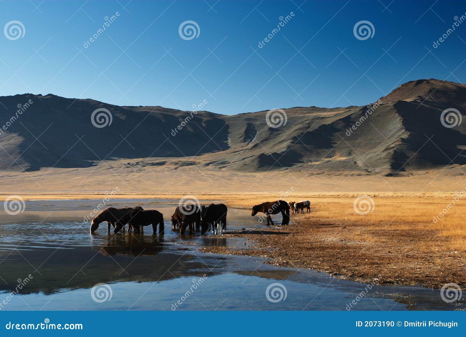 Het drinken paarden
