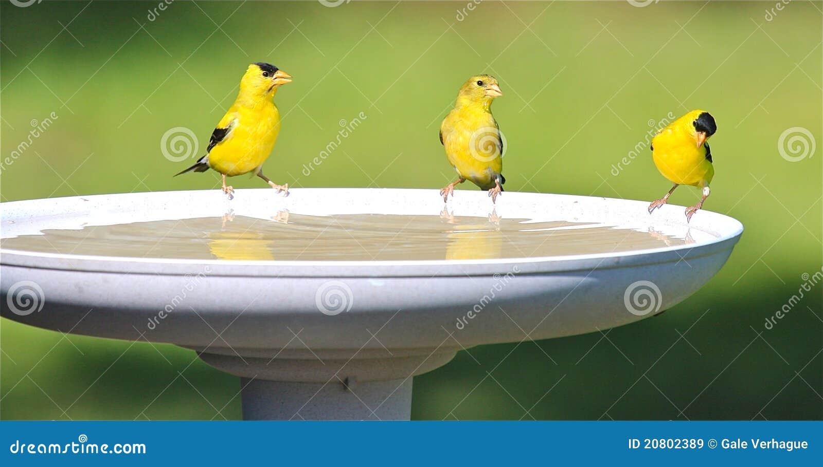 Het drinkwater van de familie van de distelvink bij een bad van de vogel stock afbeelding - Foto in een bad ...