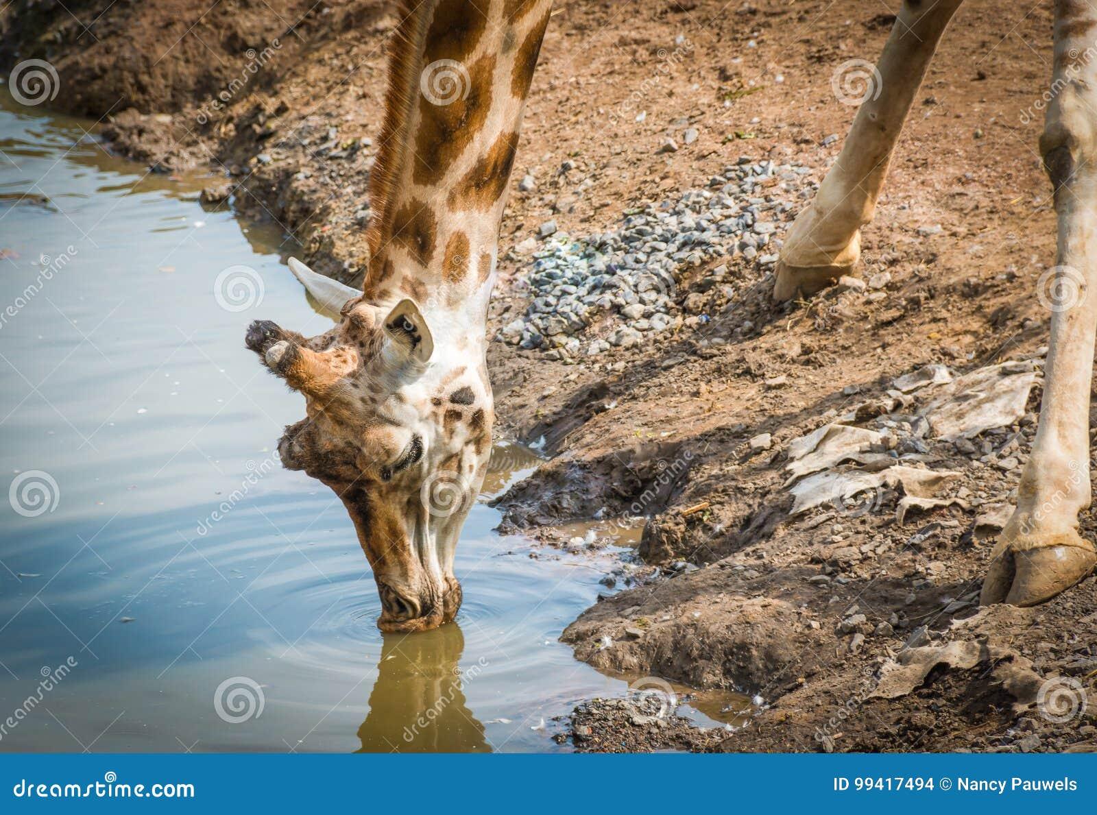Het drinkwater van de giraf