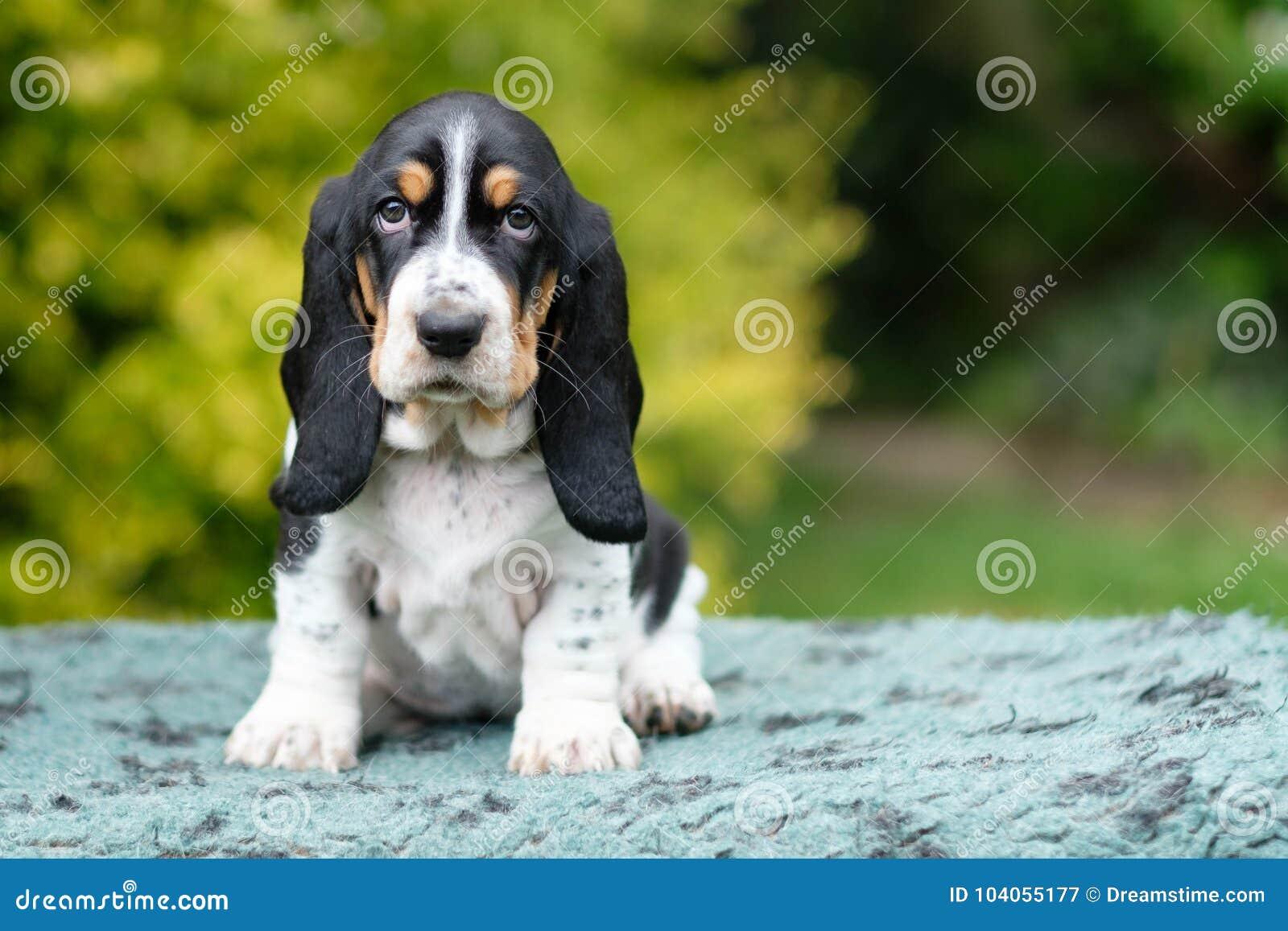 Het droevige jonge basset hondenpuppy kijkt net in de camera