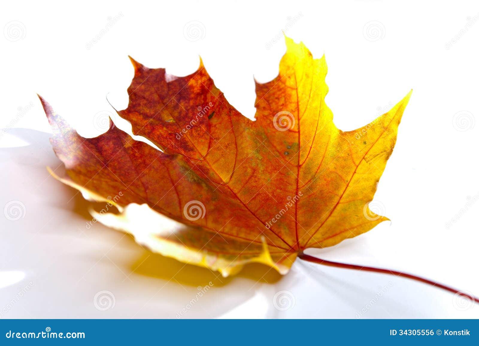 Het droge rode de herfst gevallen blad van een boom op een witte ...