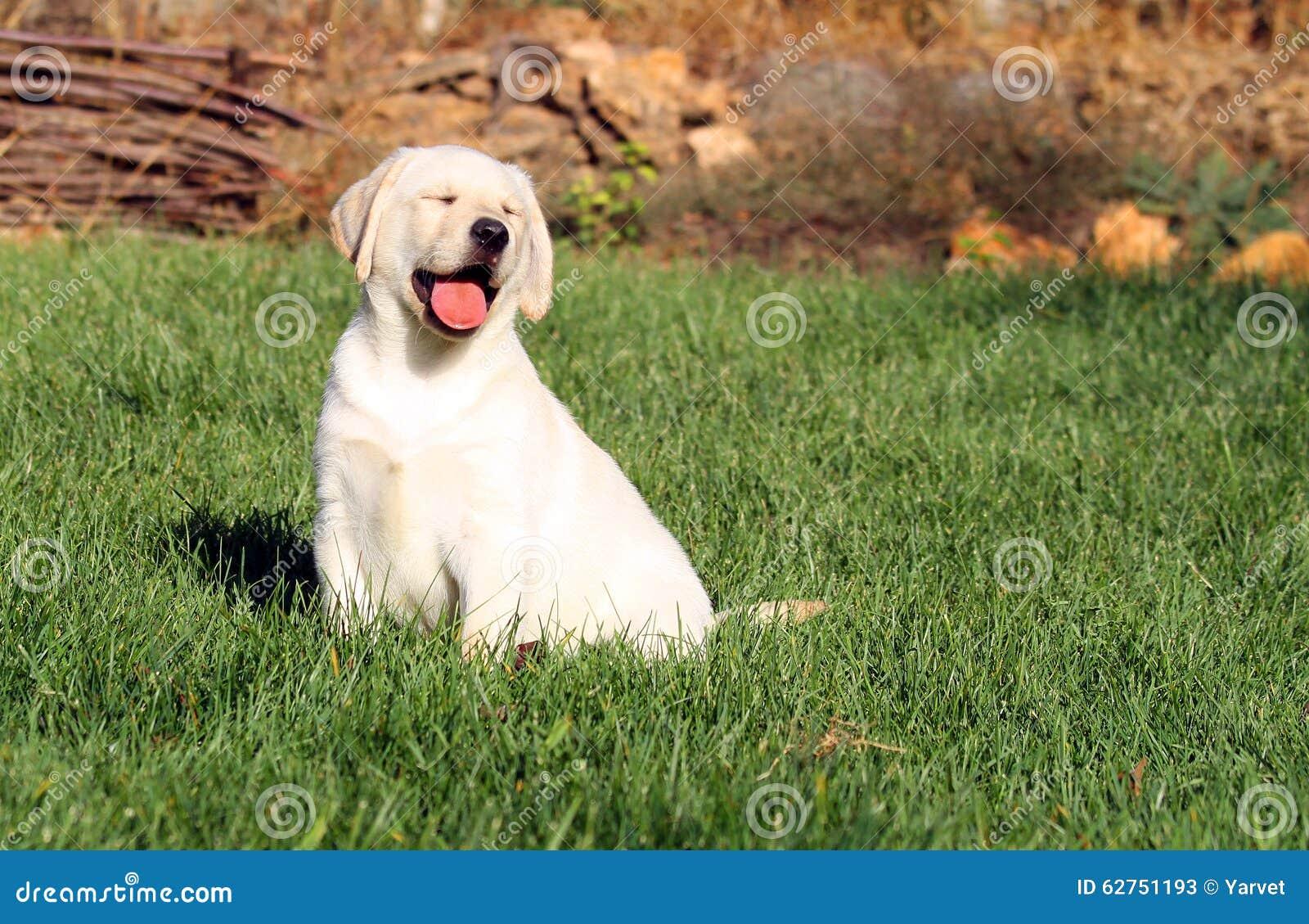 Het een weinig aardige gele puppy van Labrador in de herfst