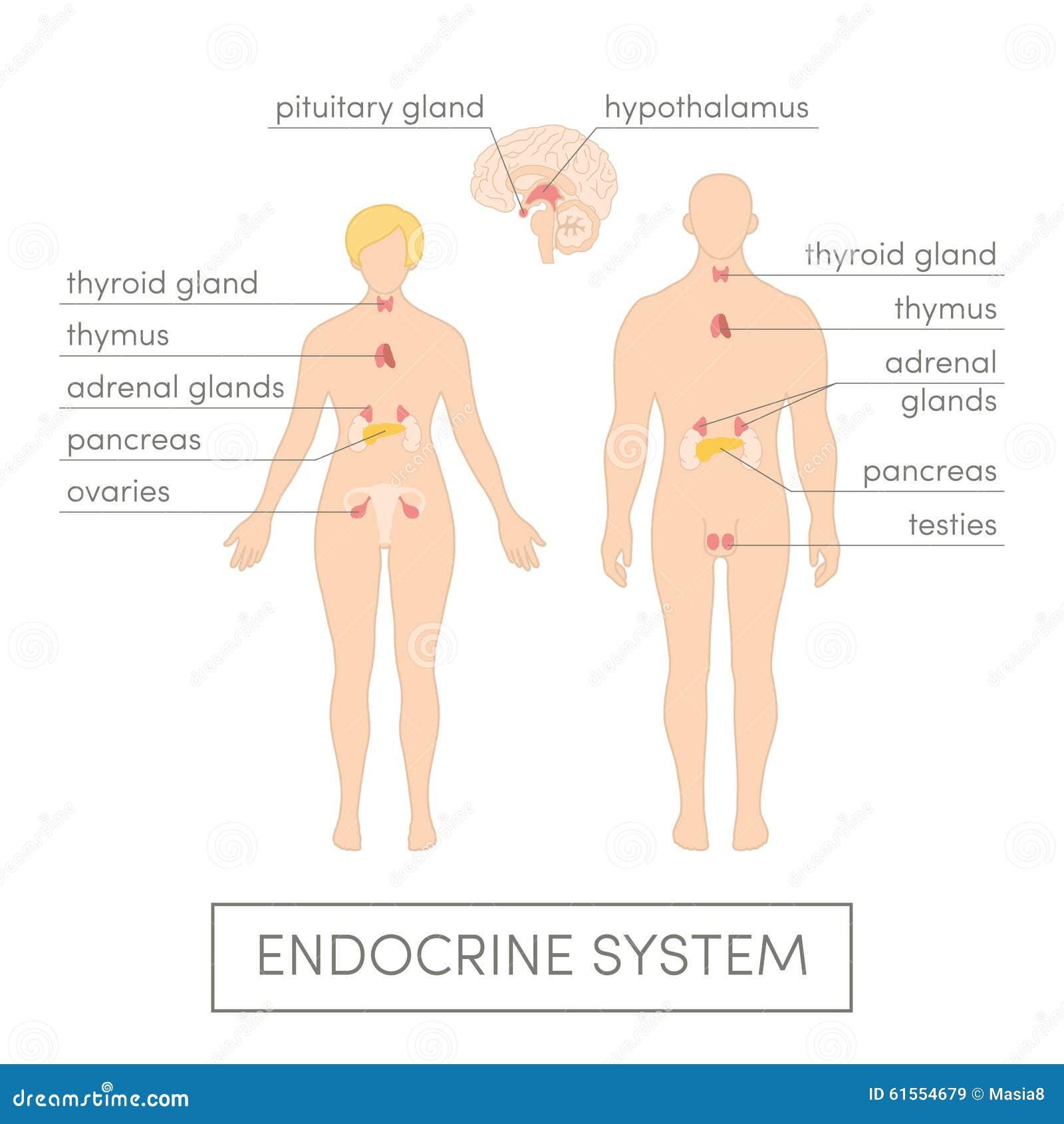 the endocrine system. Black Bedroom Furniture Sets. Home Design Ideas