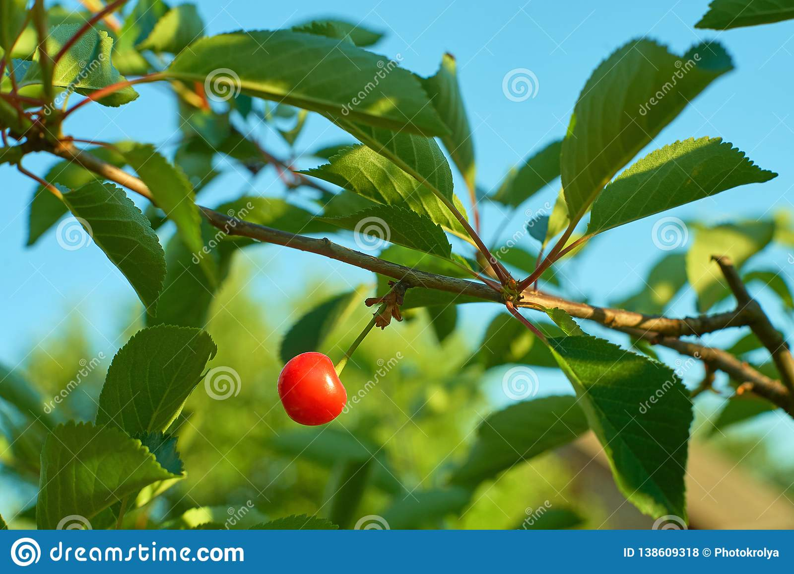 Het enige rijpe kersenfruit hangen op tak