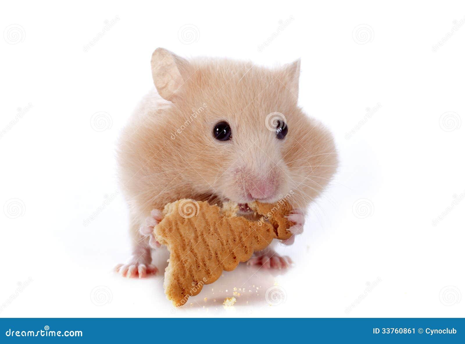 Het eten van hamster