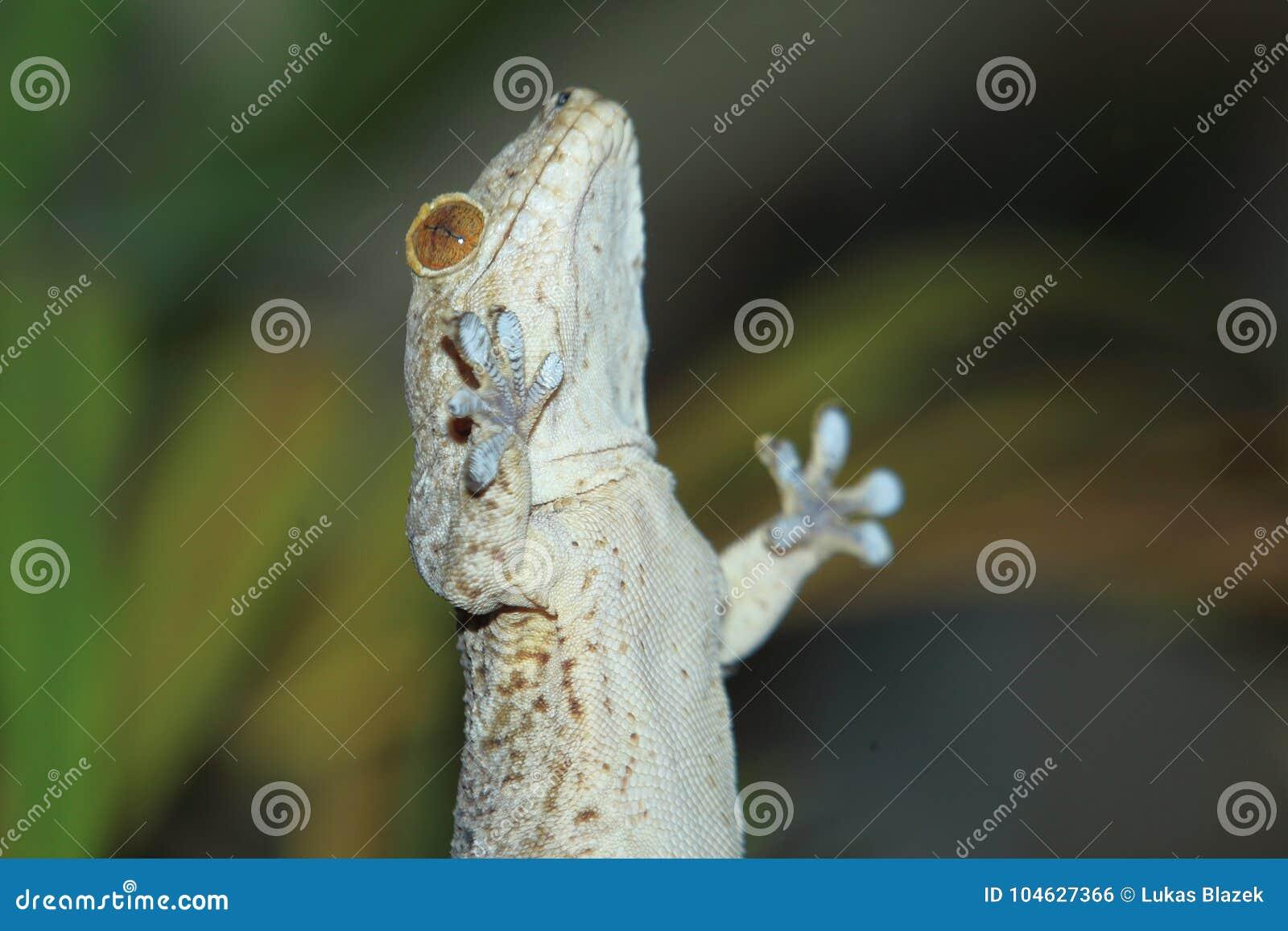 Download Het Fluweelgekko Van Madagascar Stock Foto - Afbeelding bestaande uit gecko, reptiel: 104627366