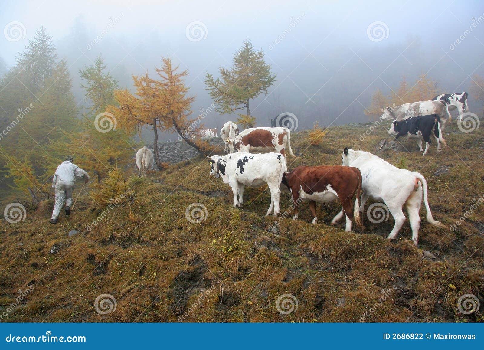 Het fokken van het vee