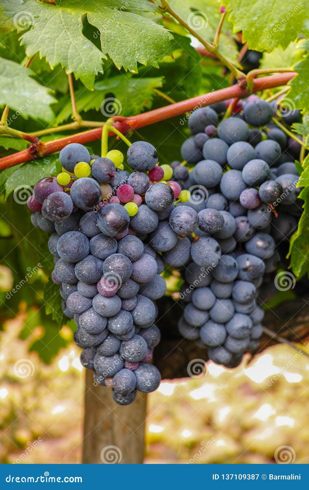Het Franse rood en nam wijndruiven plant, eerste nieuwe oogst van wijndruif in Frankrijk, AOP van Costieres DE Nîmes domein of ch